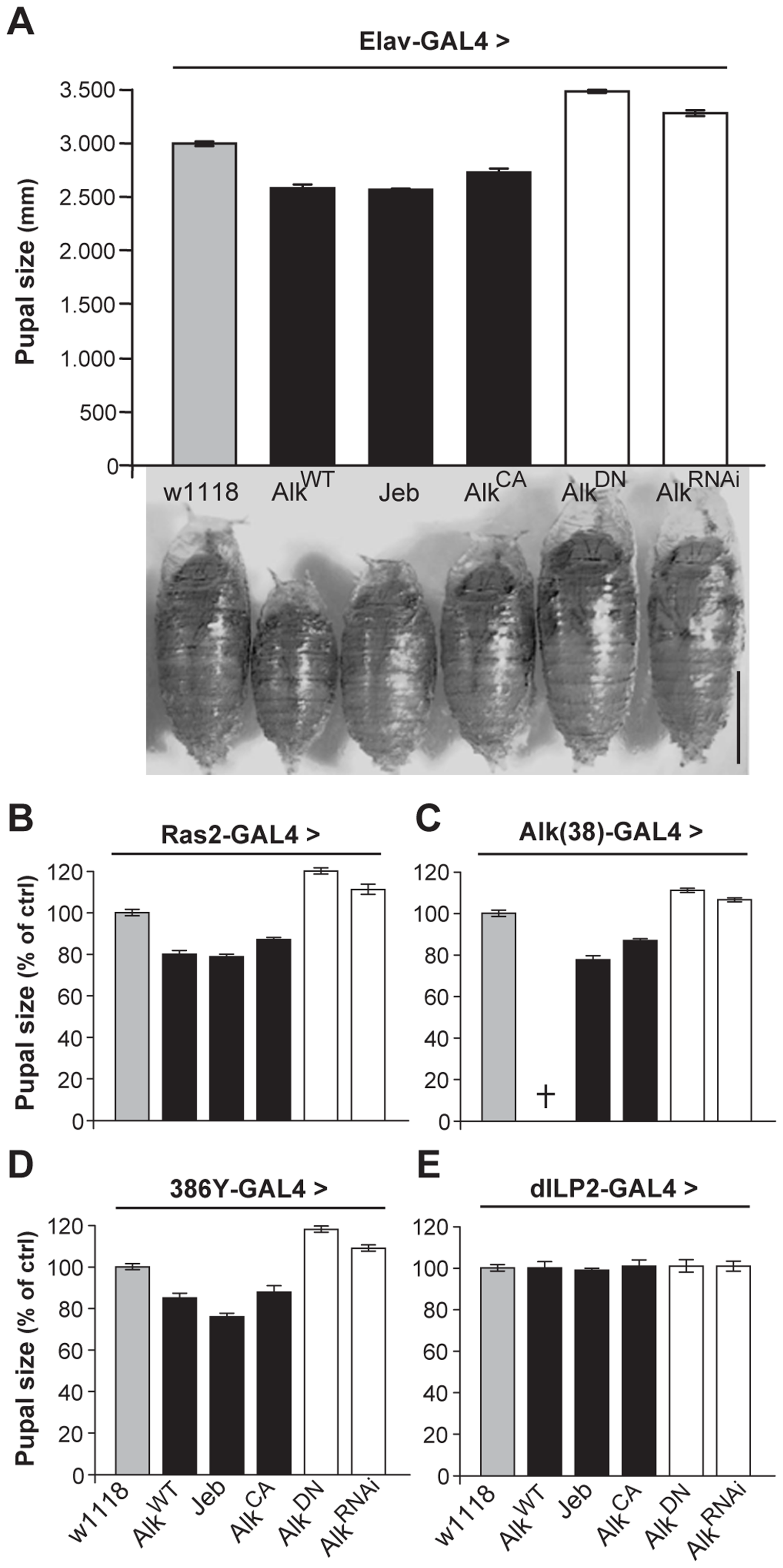 dAlk activity in Ras2-expressing neurons controls organism size.