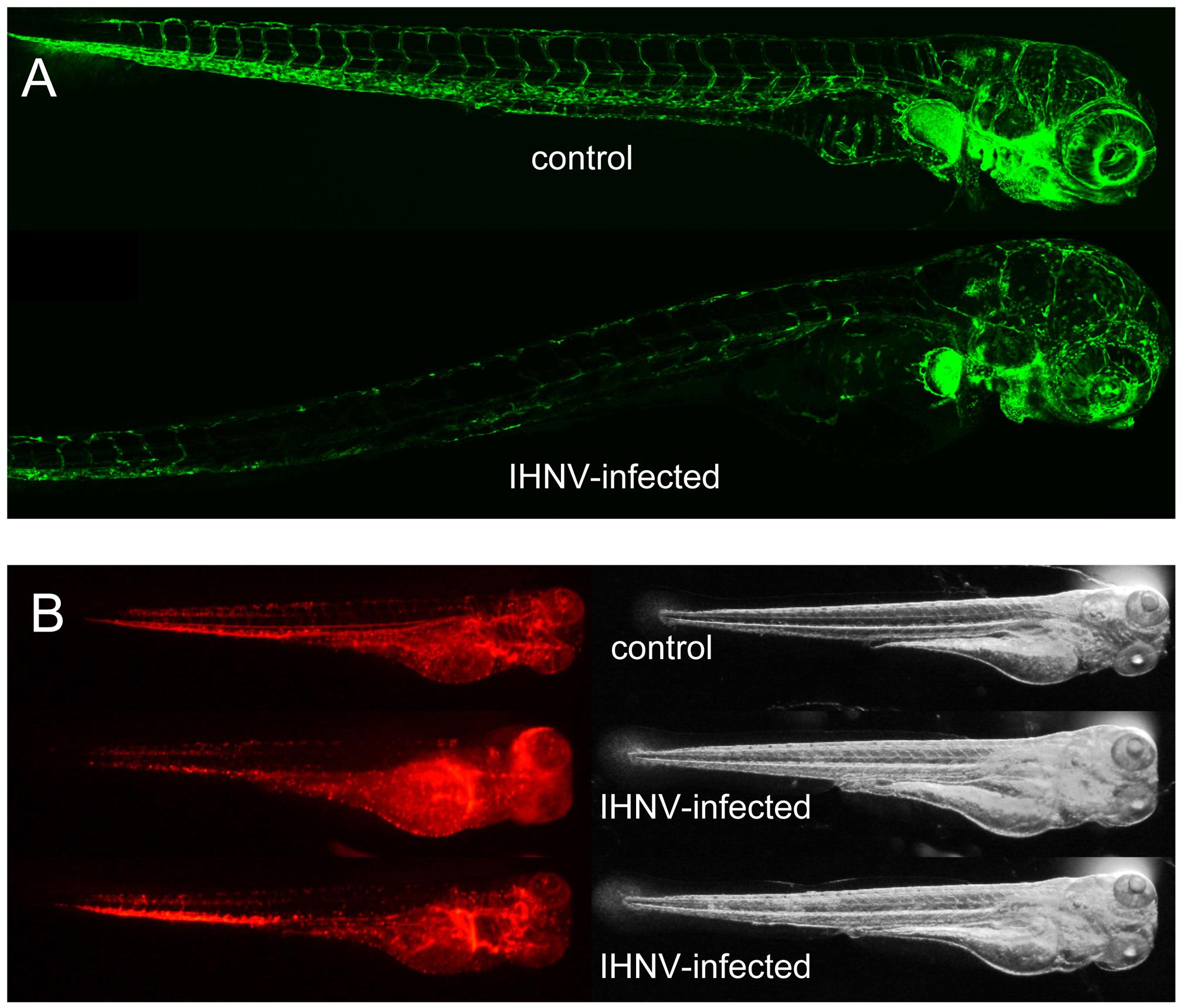 IHNV infection destroys vascular endothelium but not erythrocytes.