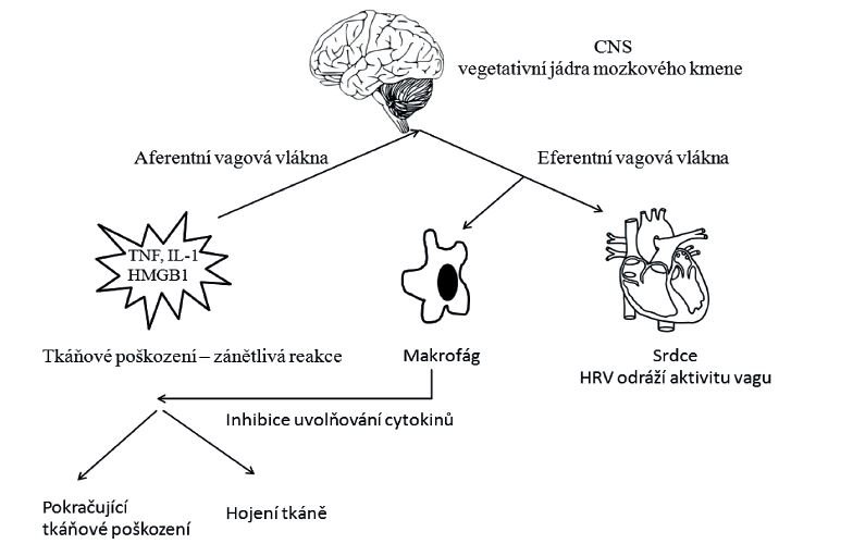 Schéma cholinergní protizánětlivé cesty (cholinergic antiinflammatory pathway)