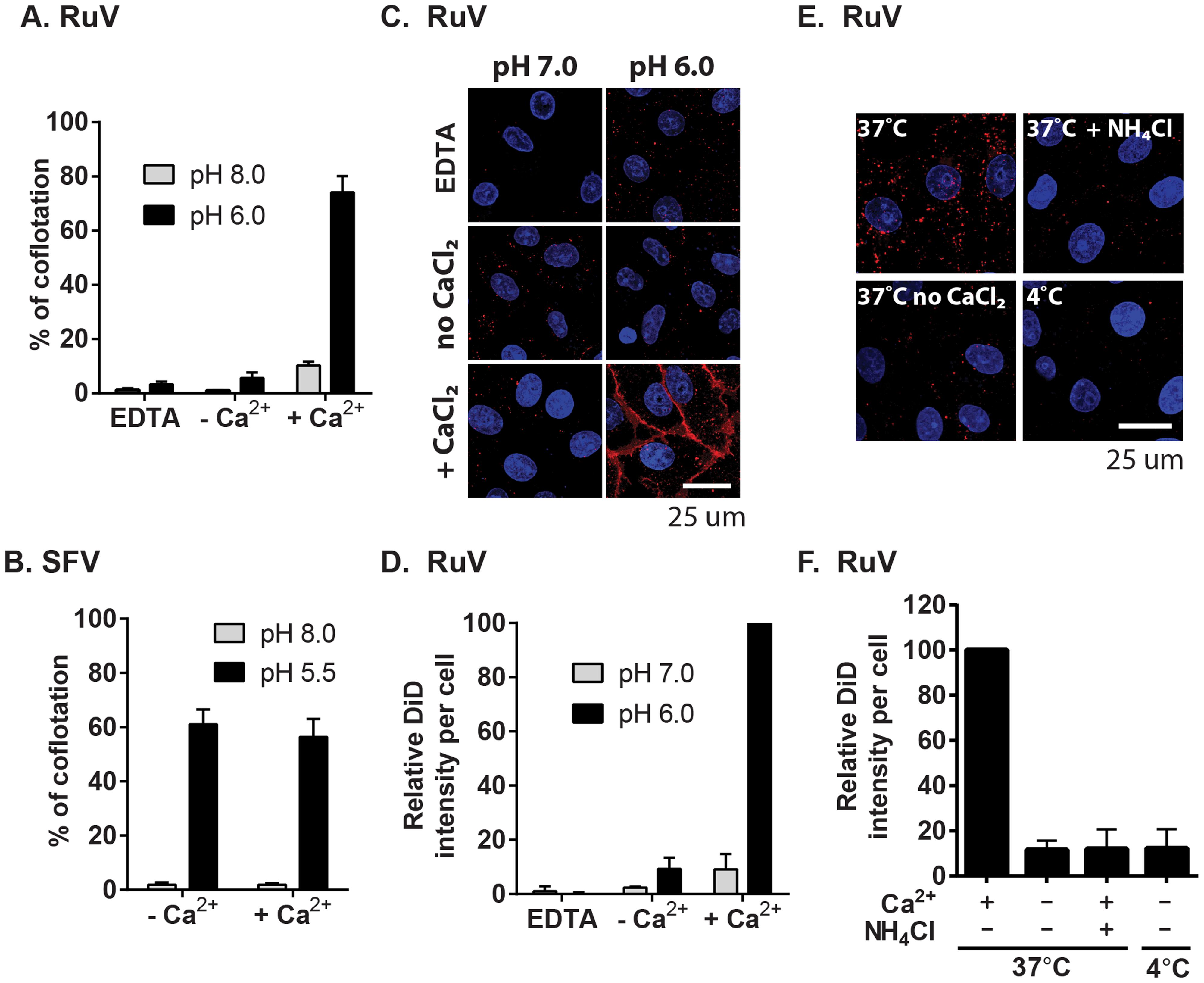 Calcium dependence of RuV-membrane interactions.