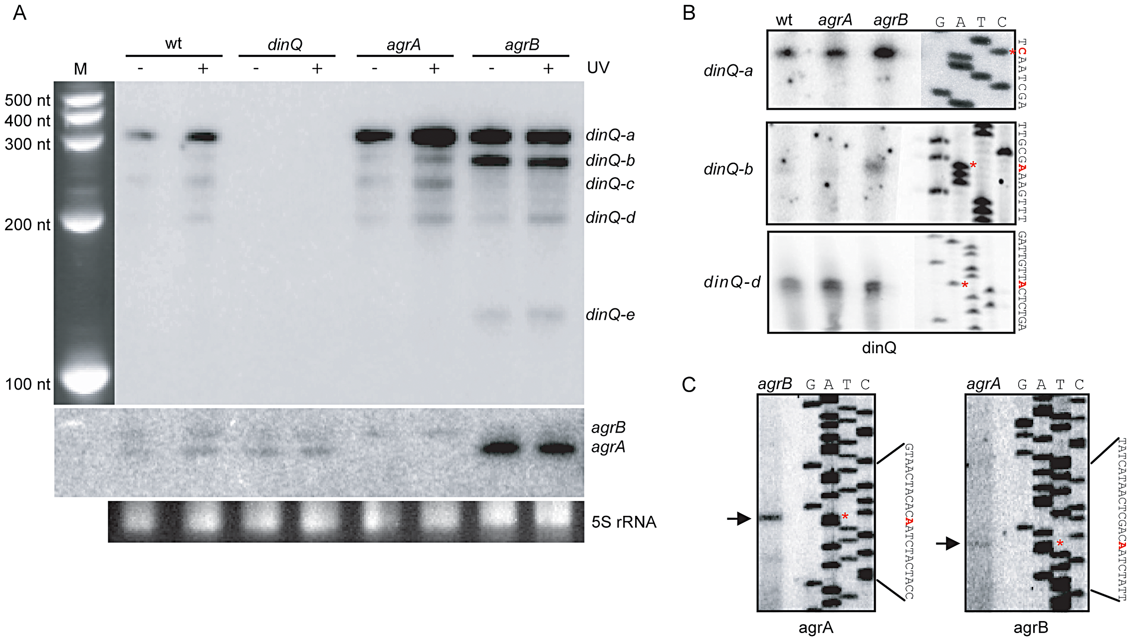 Expression pattern and transcription start of the <i>dinQ/agrAB</i> locus.