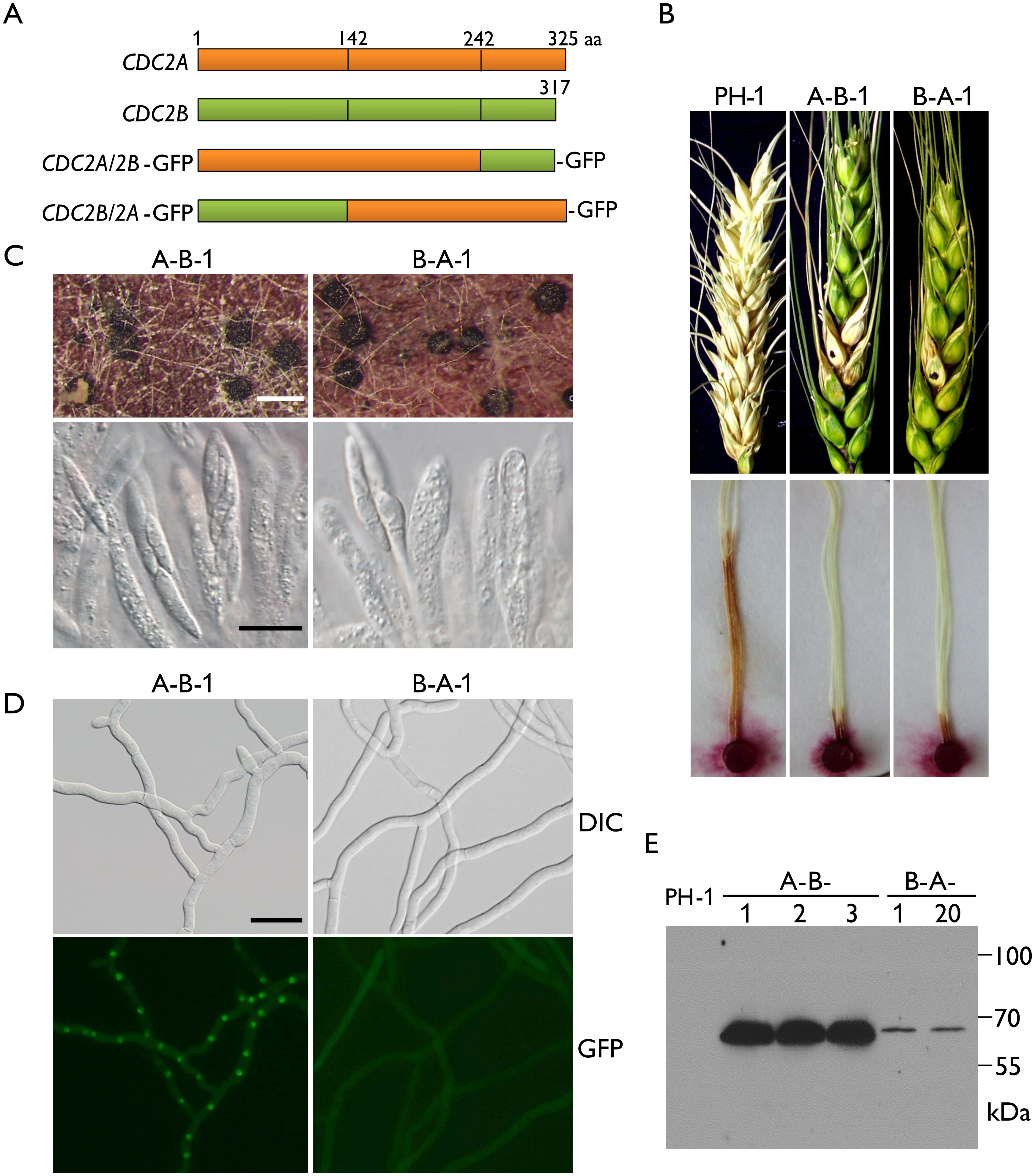 Defects in plant infection and sexual reproduction and subcellular localization of <i>CDC2A/2B-</i> and <i>CDC2B/2A-</i>GFP chimeric transformants.