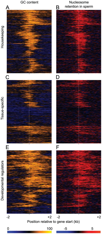GC-content predicts sperm nucleosome retention at individual genes.