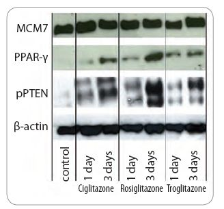 Fig. 4. PPAR-γ agonists-modulated expression of pPTEN in A549 cell line.