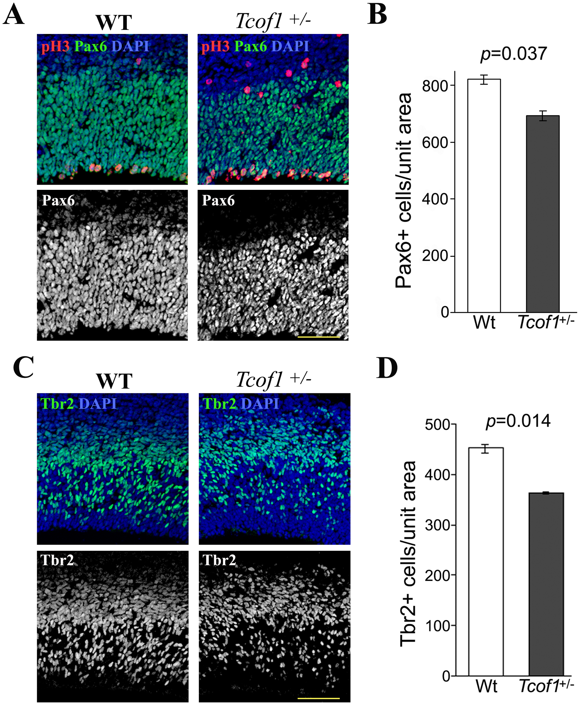 <i>Tcof1</i> deficiency affects the number of Pax6-positive apical progenitors and Tbr2-positive basal progenitor cells in the telencephalon.