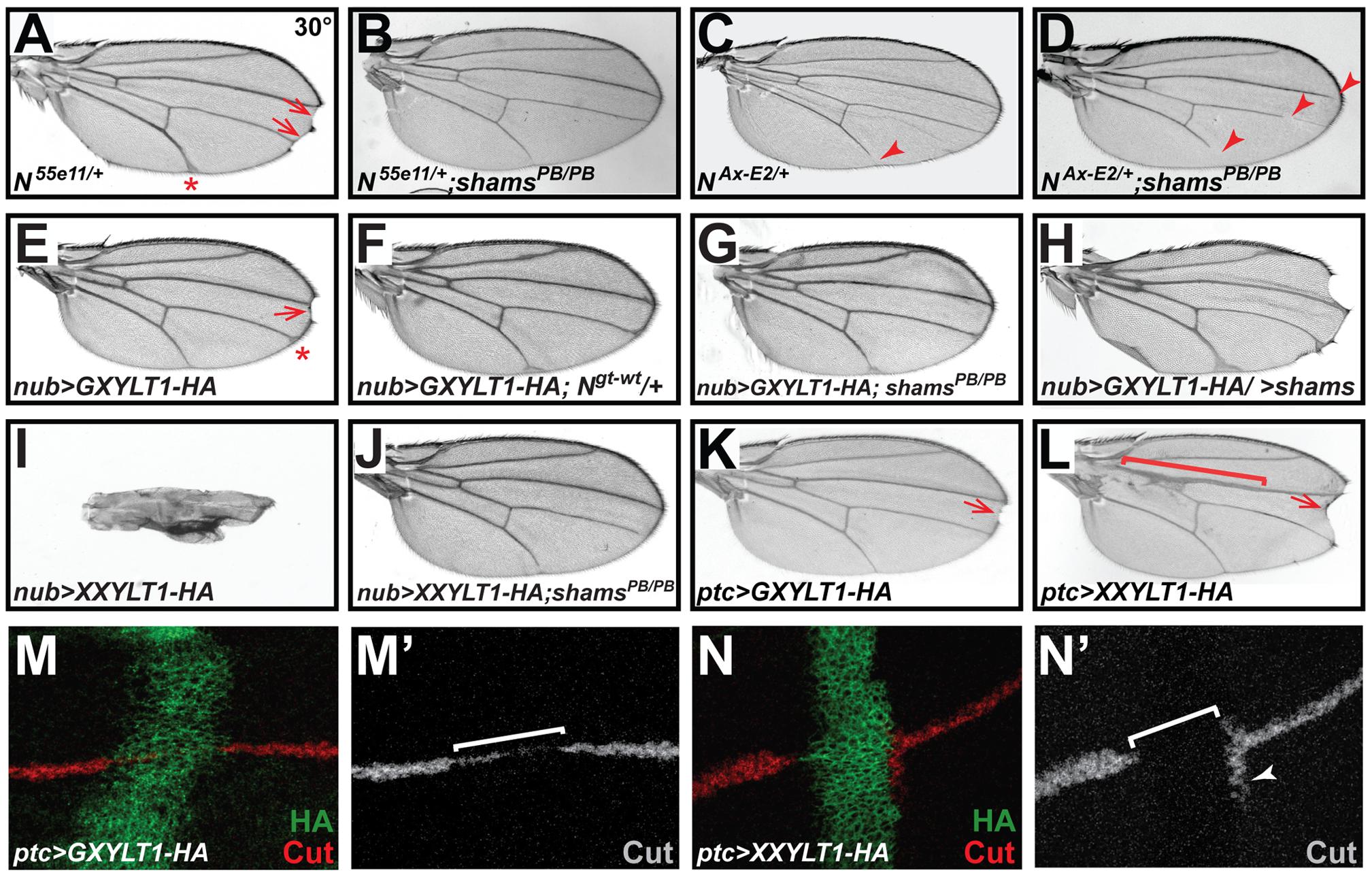 Xylosyltransferases inhibit <i>Drosophila</i> Notch signaling.