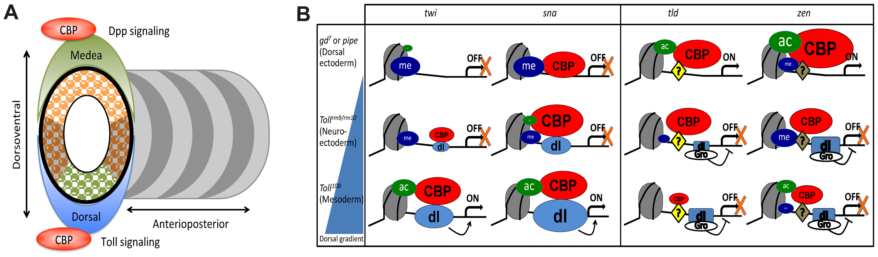 CBP may coordinate dorsal-ventral axis specification in <i>Drosophila</i> embryos.