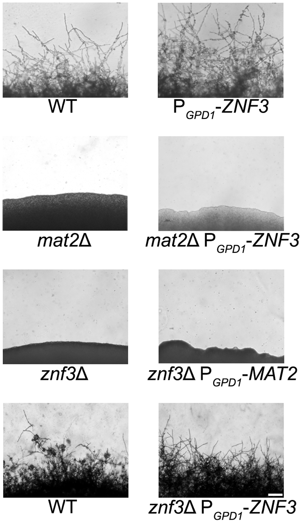 Znf3 is not a transcriptional target of the MAPK signaling cascade or Mat2.