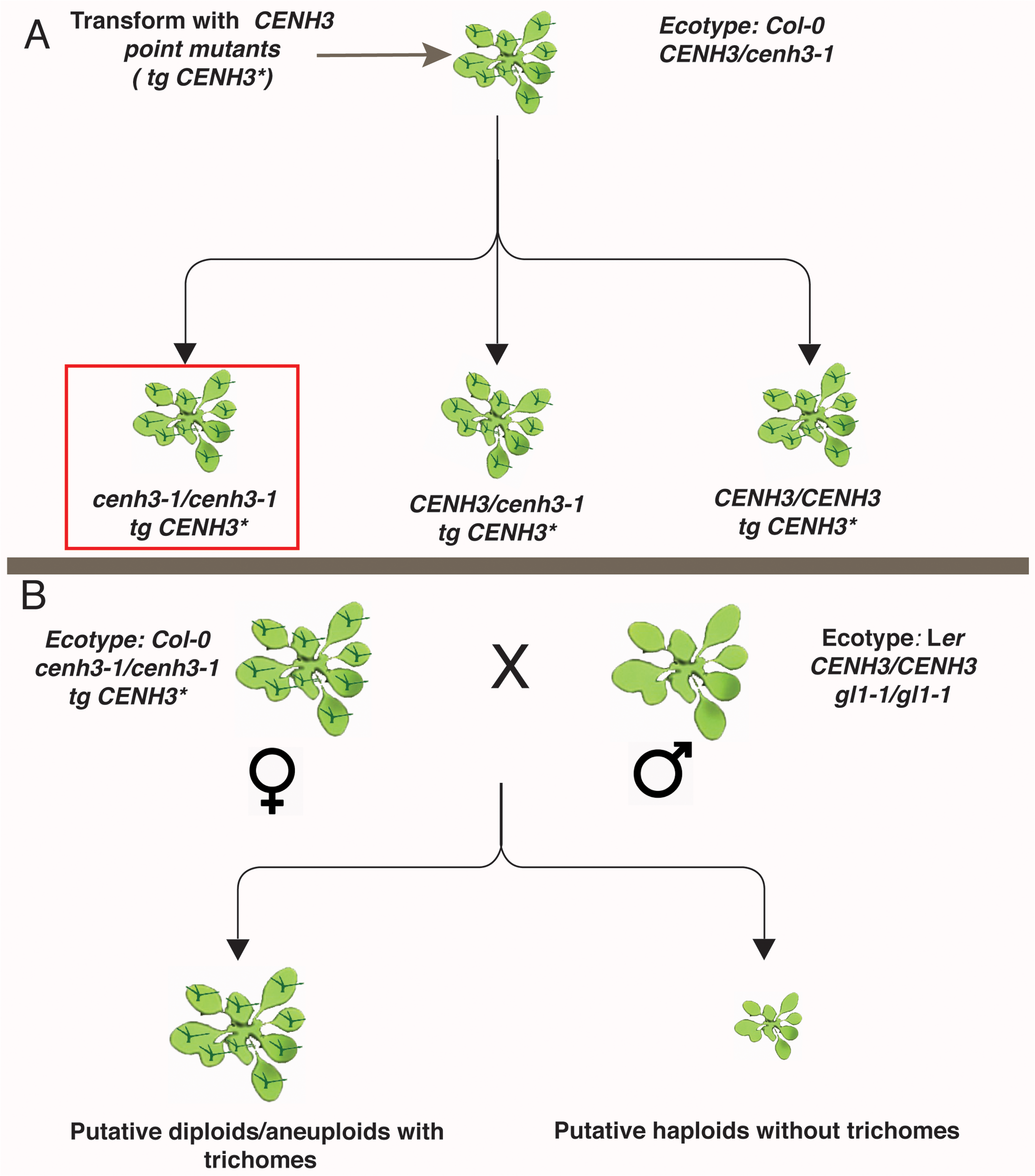 Schematic representation of transgenic <i>CENH3</i> point mutant transformation and crossing.