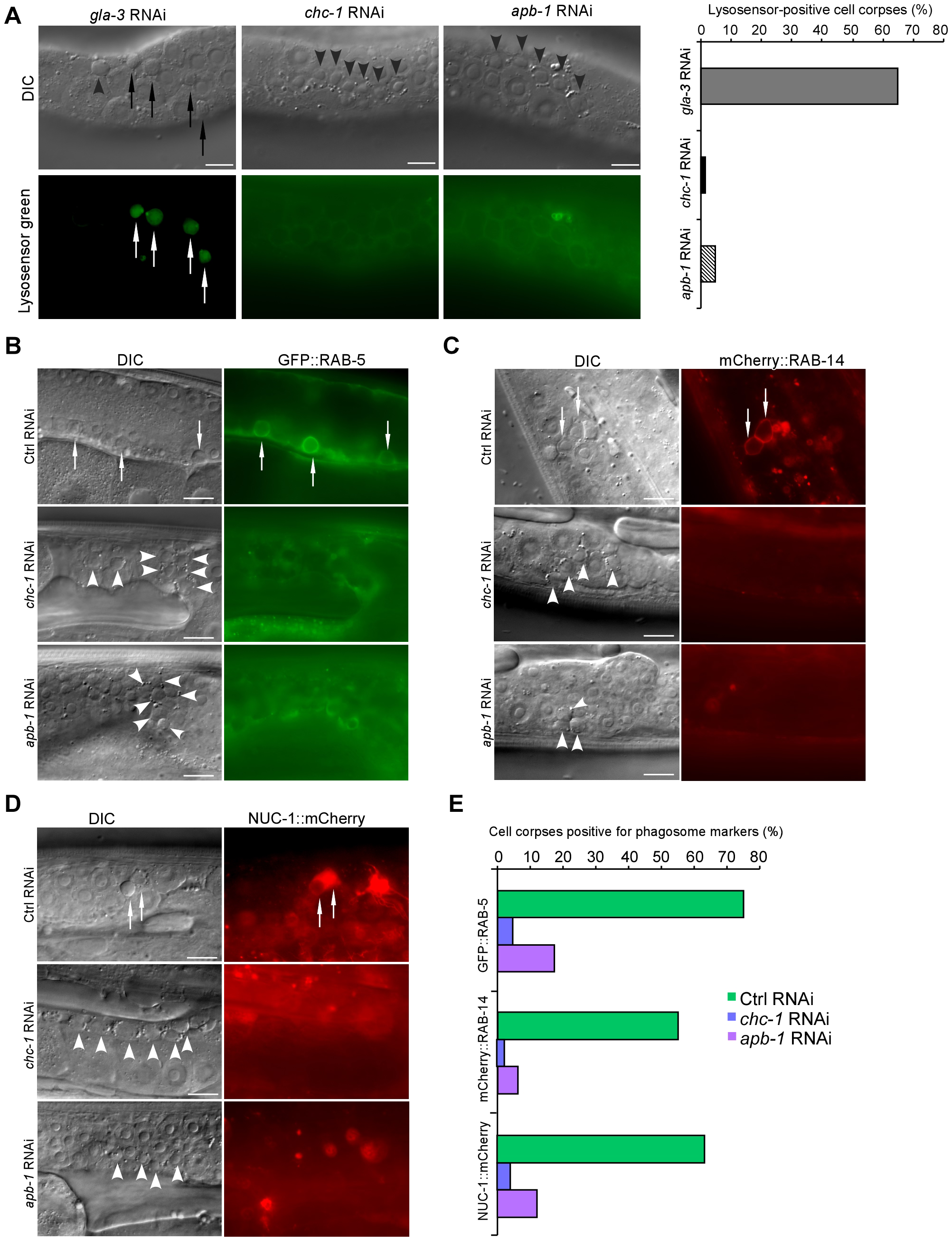 CHC-1 and AP2 are required for phagosome maturation.