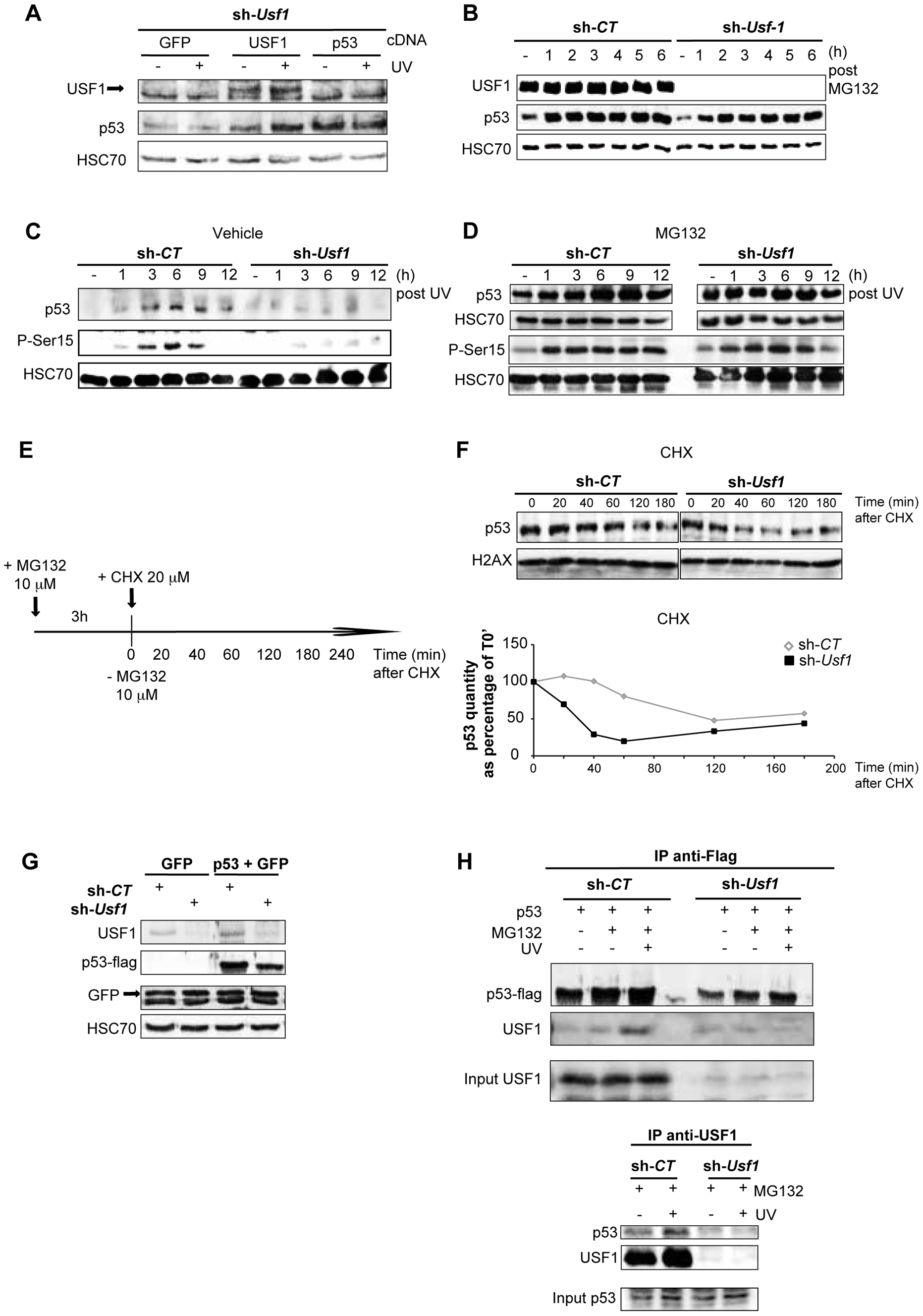 USF1 is required to stabilize p53 protein following genotoxic stress.