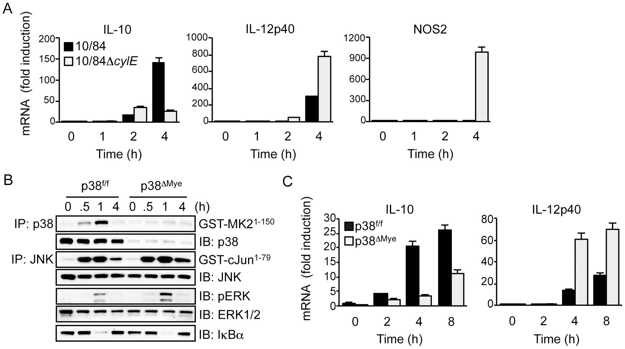 βh/c drives p38-dependent IL-10 expression in GBS-infected macrophages.