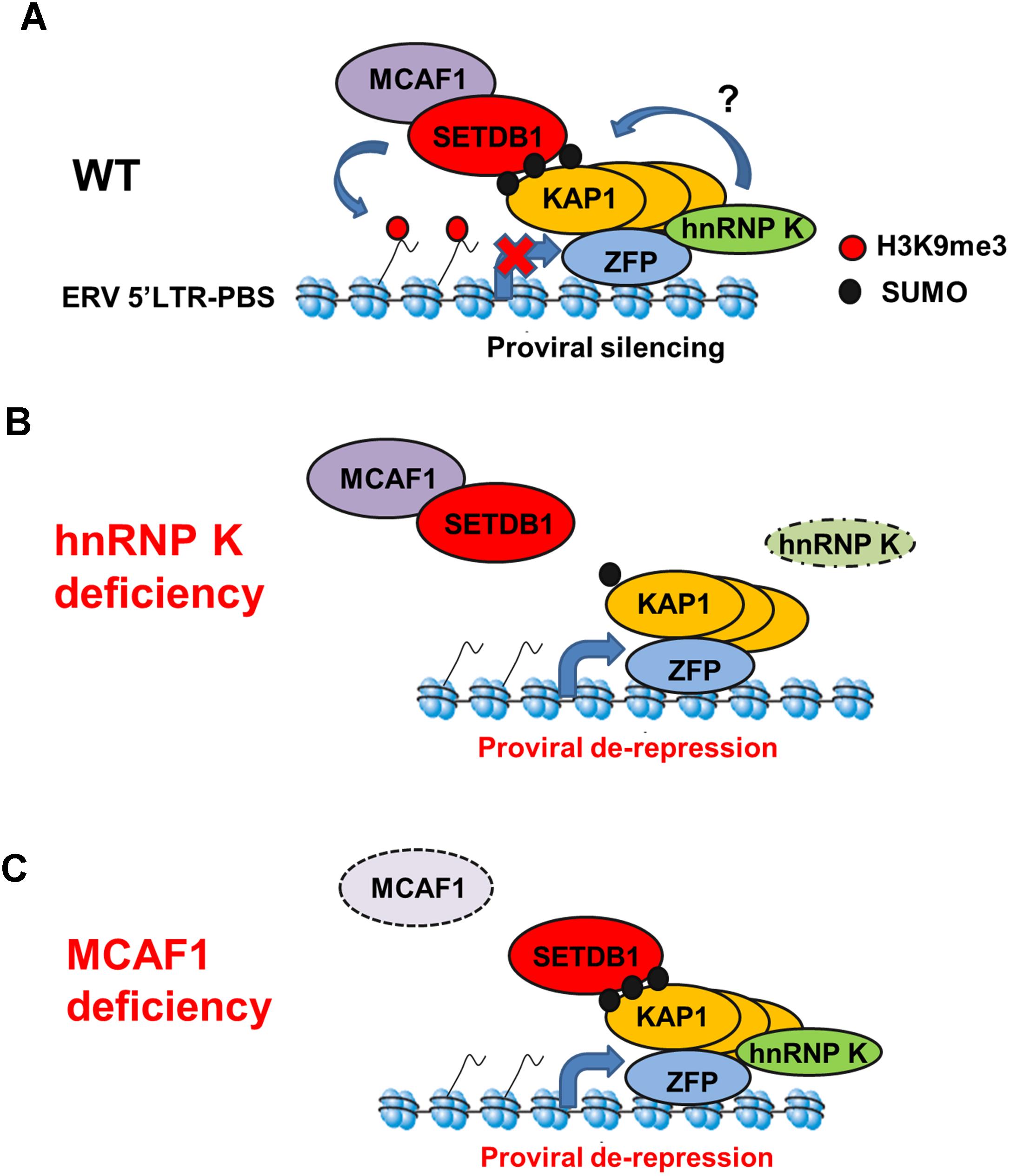 Model for SETDB1/KAP1-mediated proviral silencing pathway.