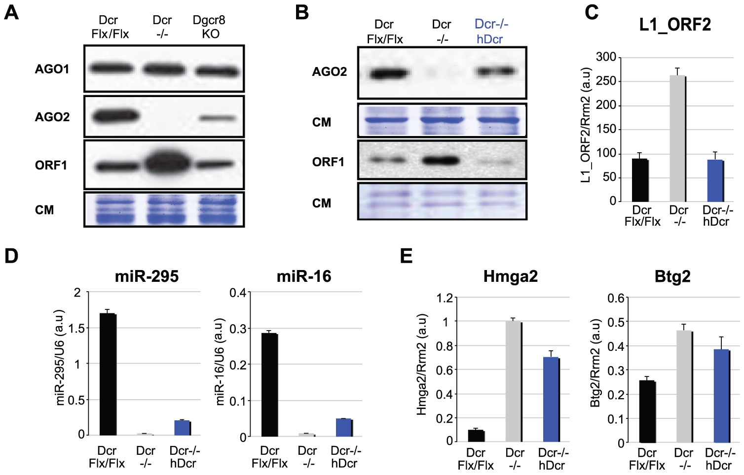 Rescue of L1 silencing in <i>hDcr</i>-complemented <i>Dcr</i><sup>−/−</sup> mESCs.
