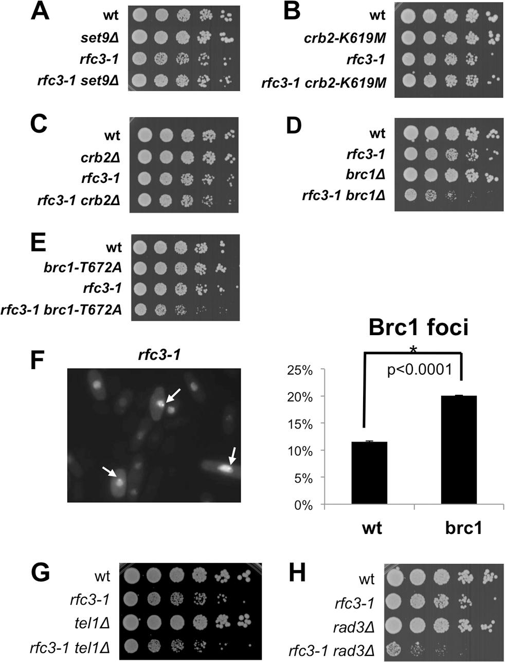 Brc1 binding to γH2A is critical in <i>rfc3-1</i> cells.