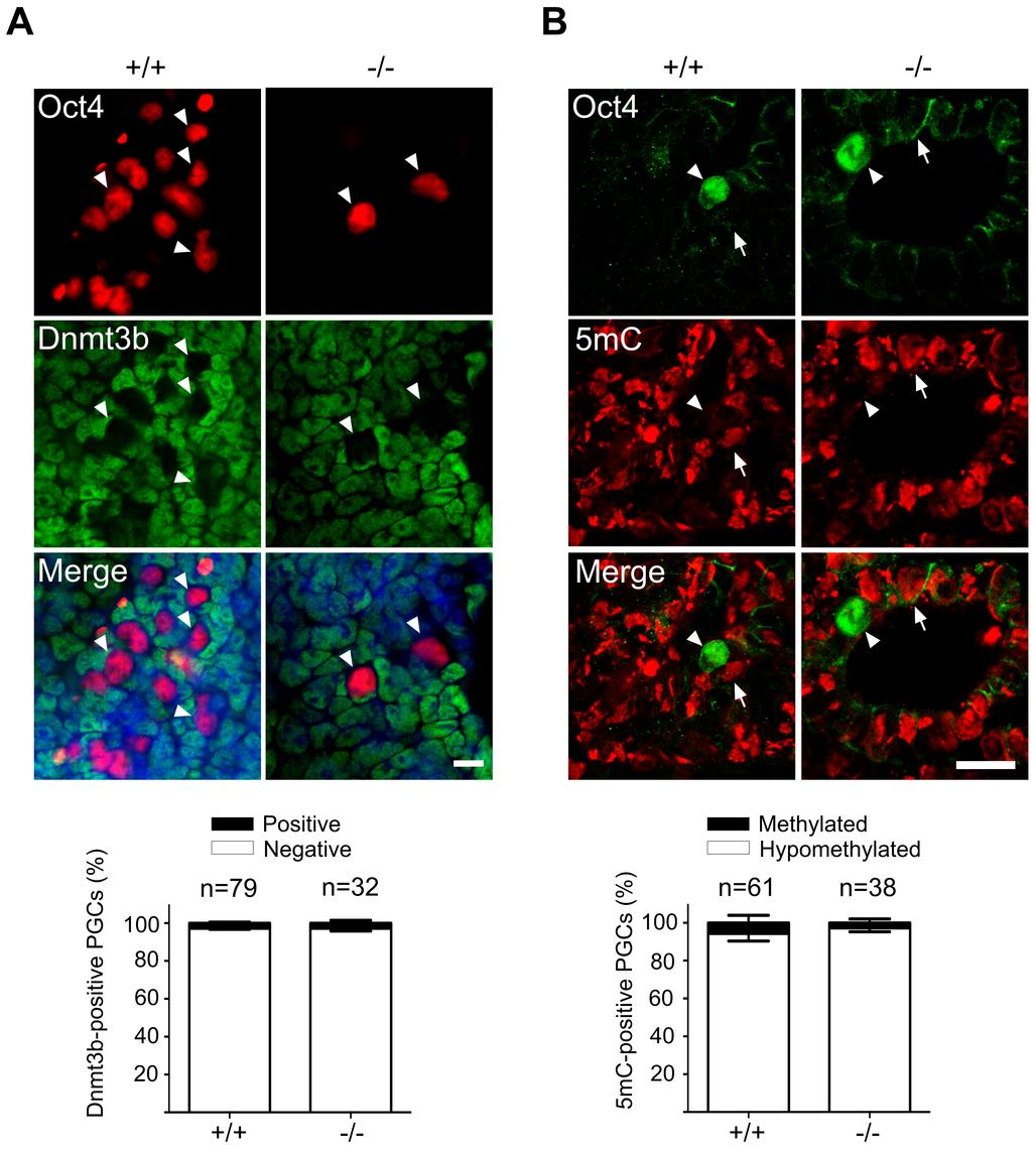Normal DNA demethylation in Mad2l2 deficient PGCs.