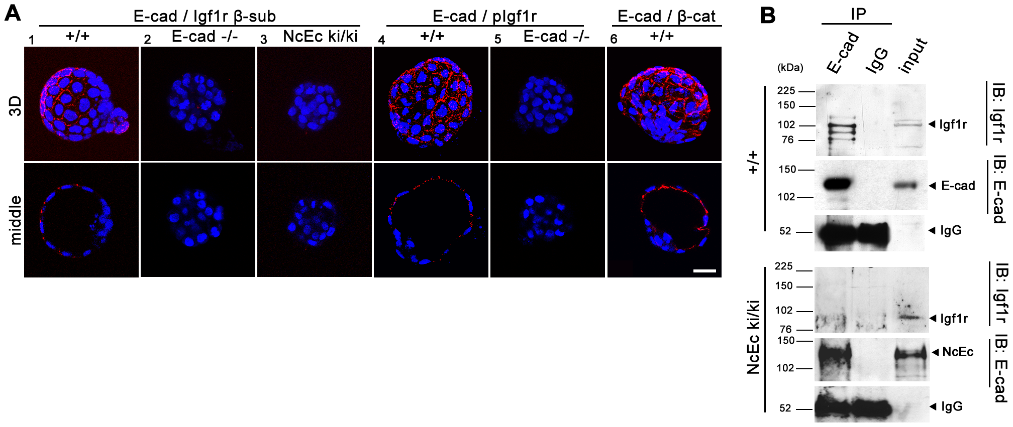 E-cad interacts with Igf1r and increases receptor activity in TE cells.
