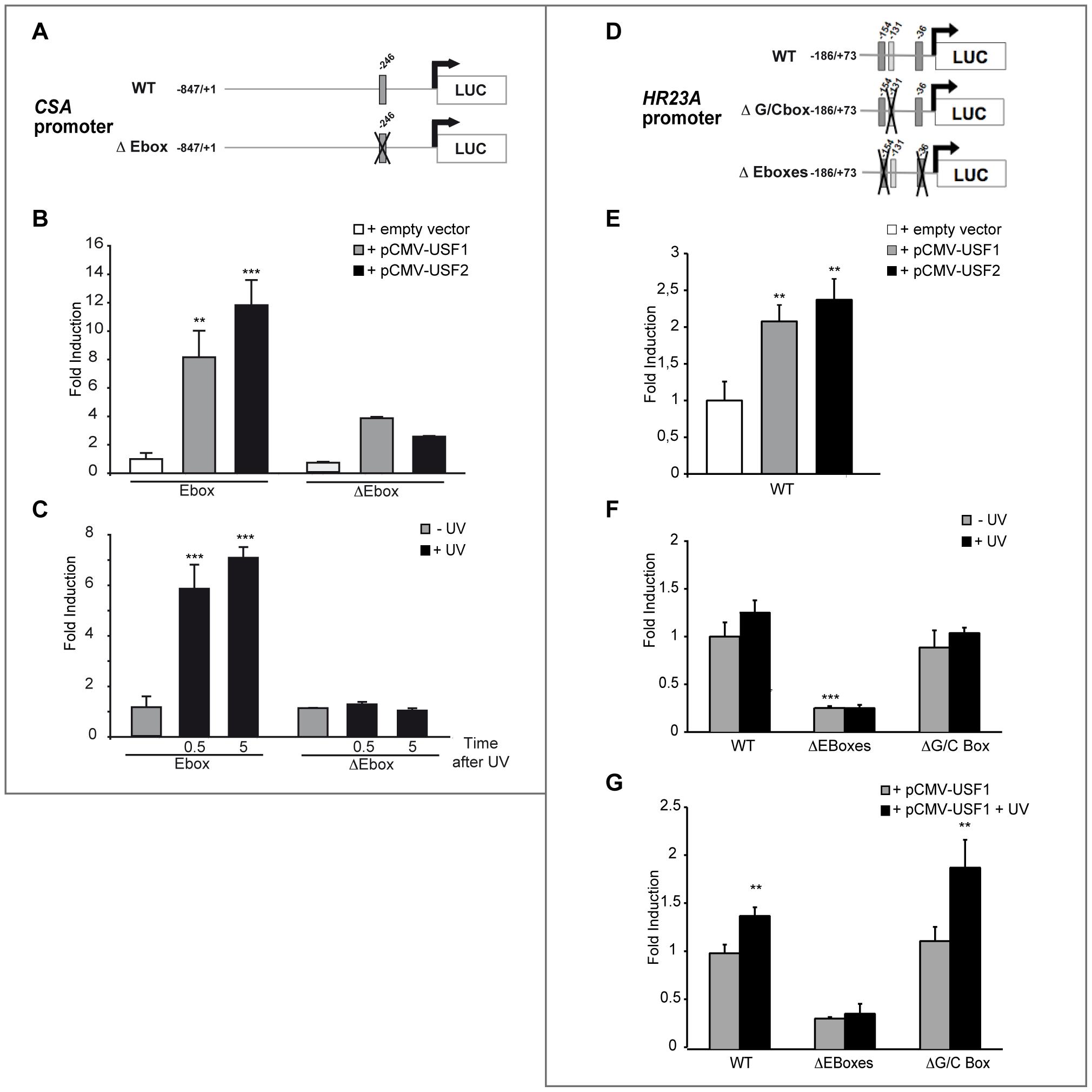 <i>In vitro</i> transcriptional regulation of human <i>CSA</i> and <i>HR23A</i> by USF.