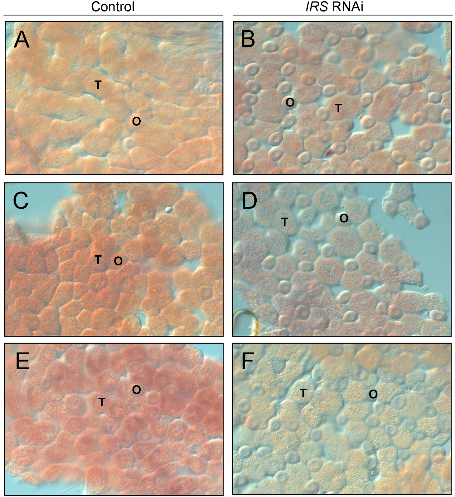 Verification of <i>IRS</i> RNAi in peripheral fat body by whole-mount <i>in situ</i> hybridization.