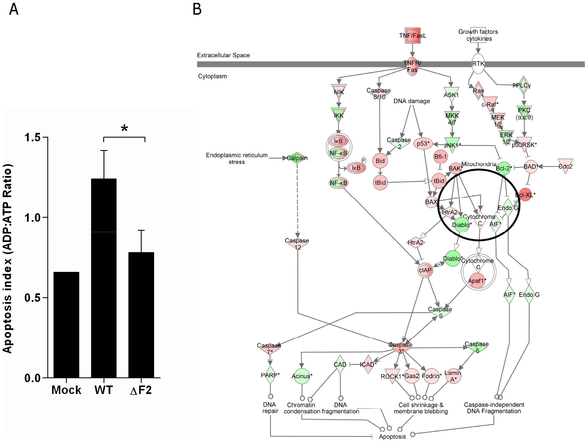 Apoptotic index of leukocytes present in the BAL fluids of IAV-infected mice.