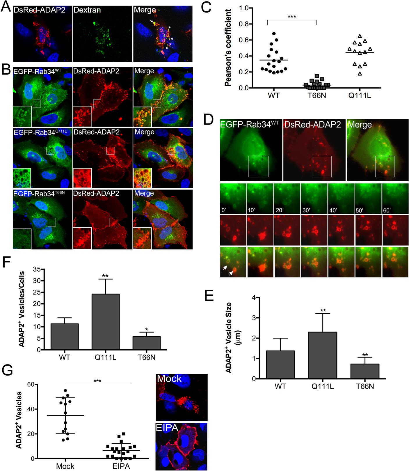 ADAP2 induces macropinocytosis and associates with macropinosomes.