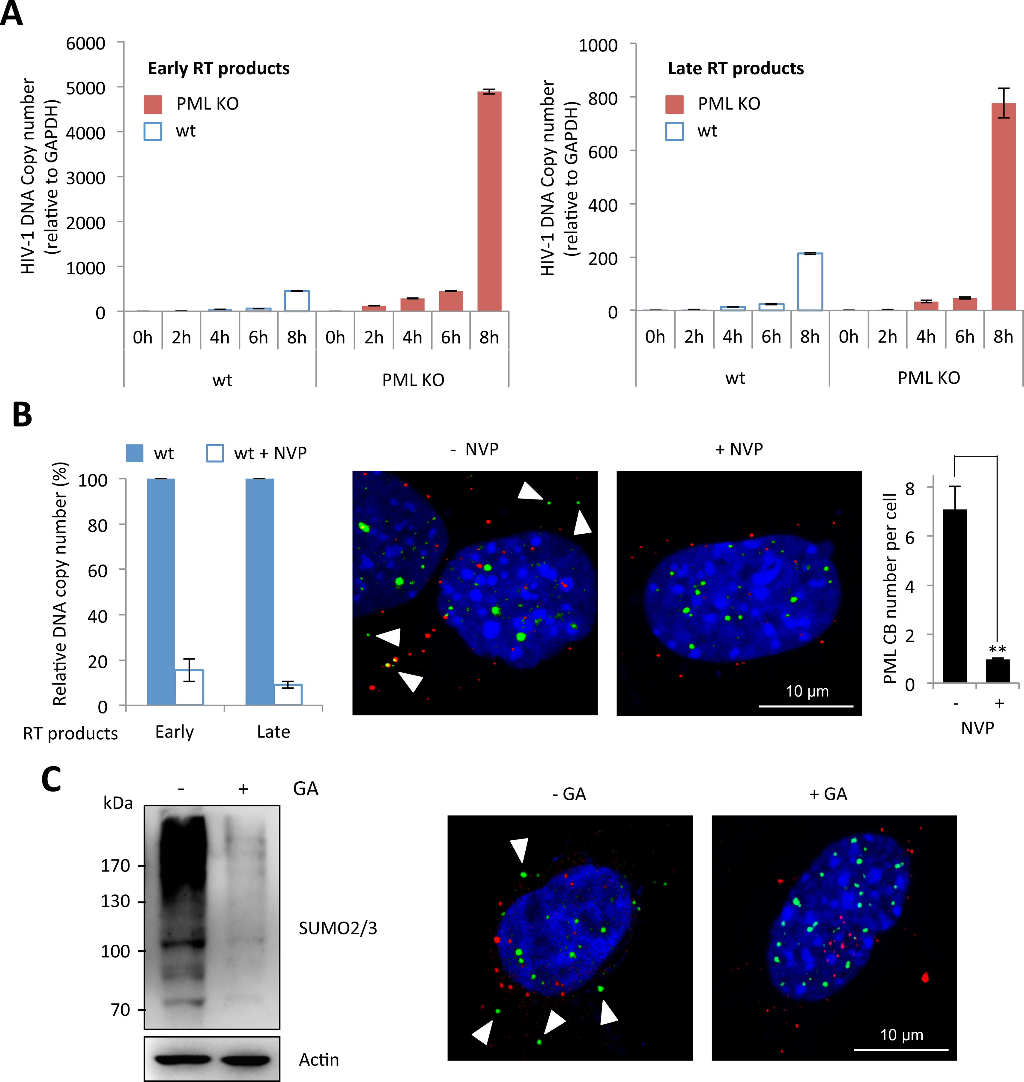 Reverse-transcription is the step affected by PML expression and the required event triggering PML CB formation.