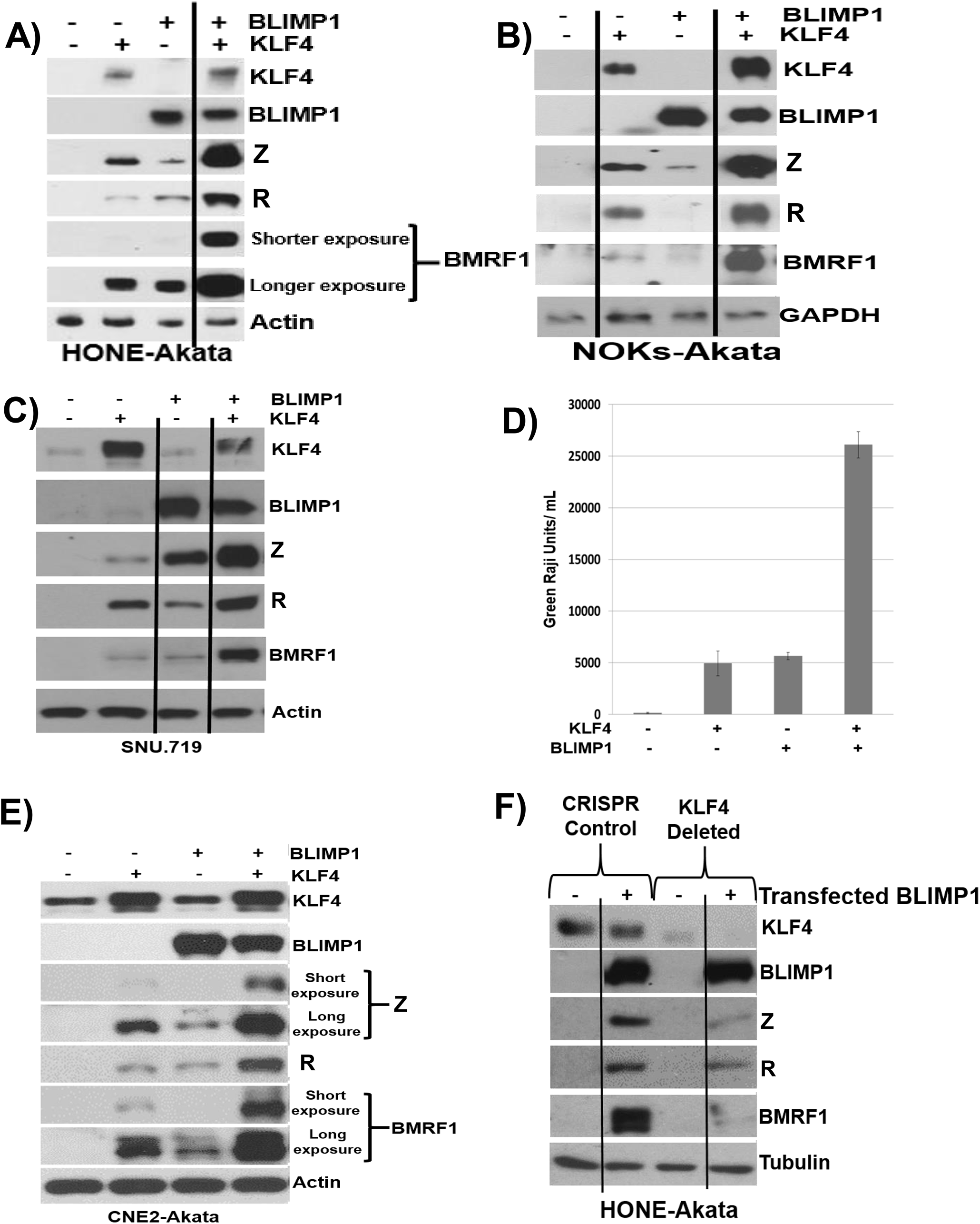 KLF4 synergizes with BLIMP1 to induce lytic EBV reactivation and replication in latently infected epithelial cells.