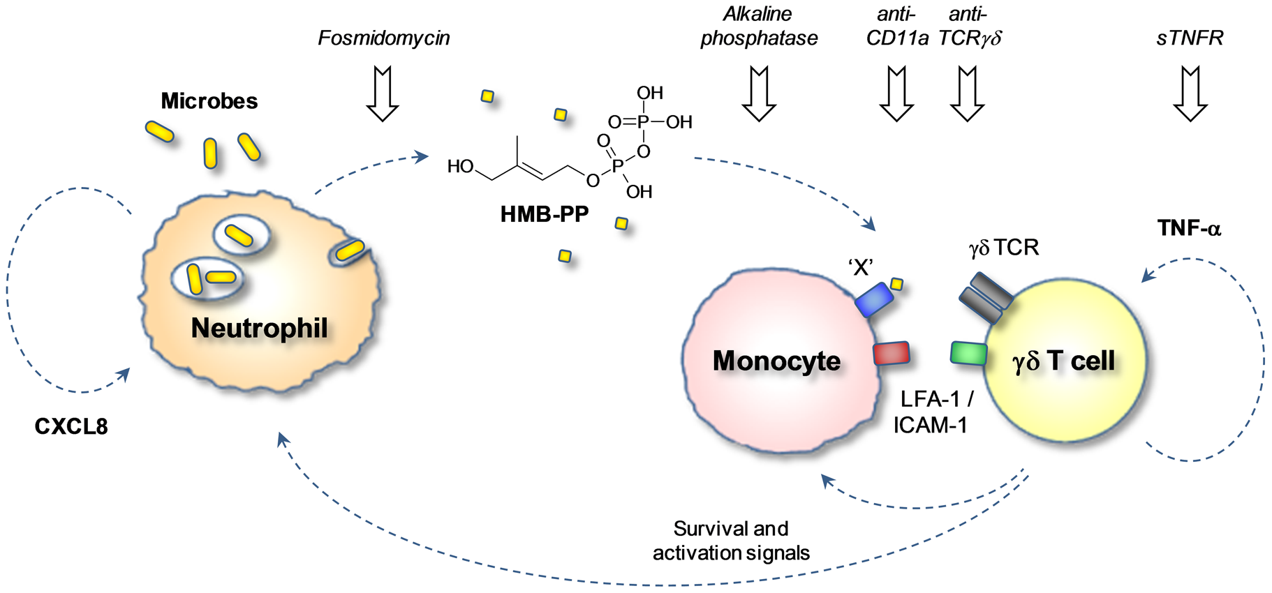 HMB-PP dependent interaction between γδ T cells, neutrophils and monocytes in acute microbial infection.