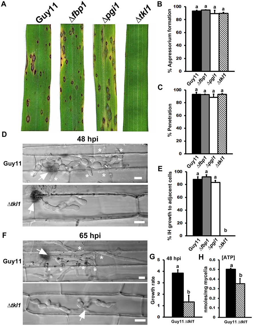 The transketolase-encoding gene <i>TKL1</i> is required for <i>in planta</i> growth.