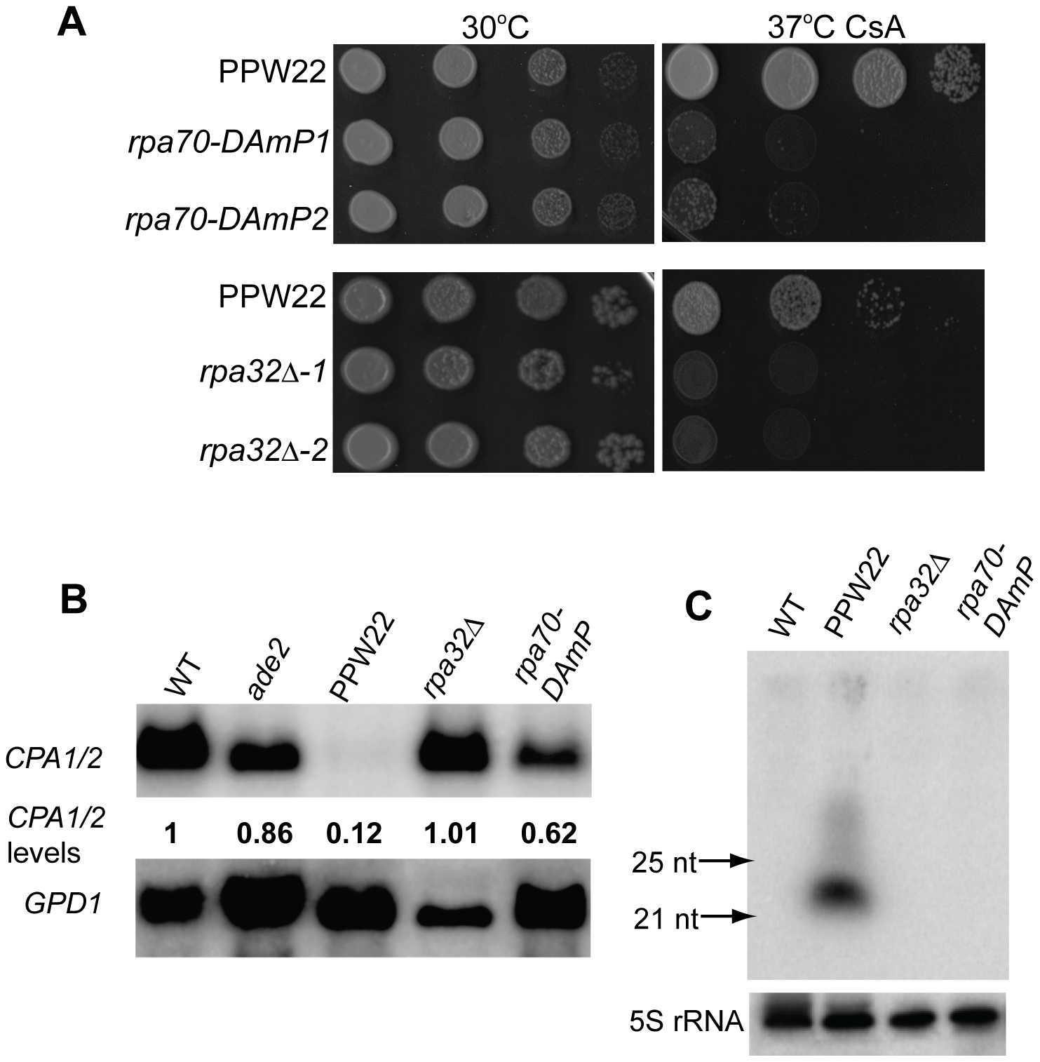 Replication Protein A, a ssDNA-binding protein complex, is essential for transgene-induced silencing.