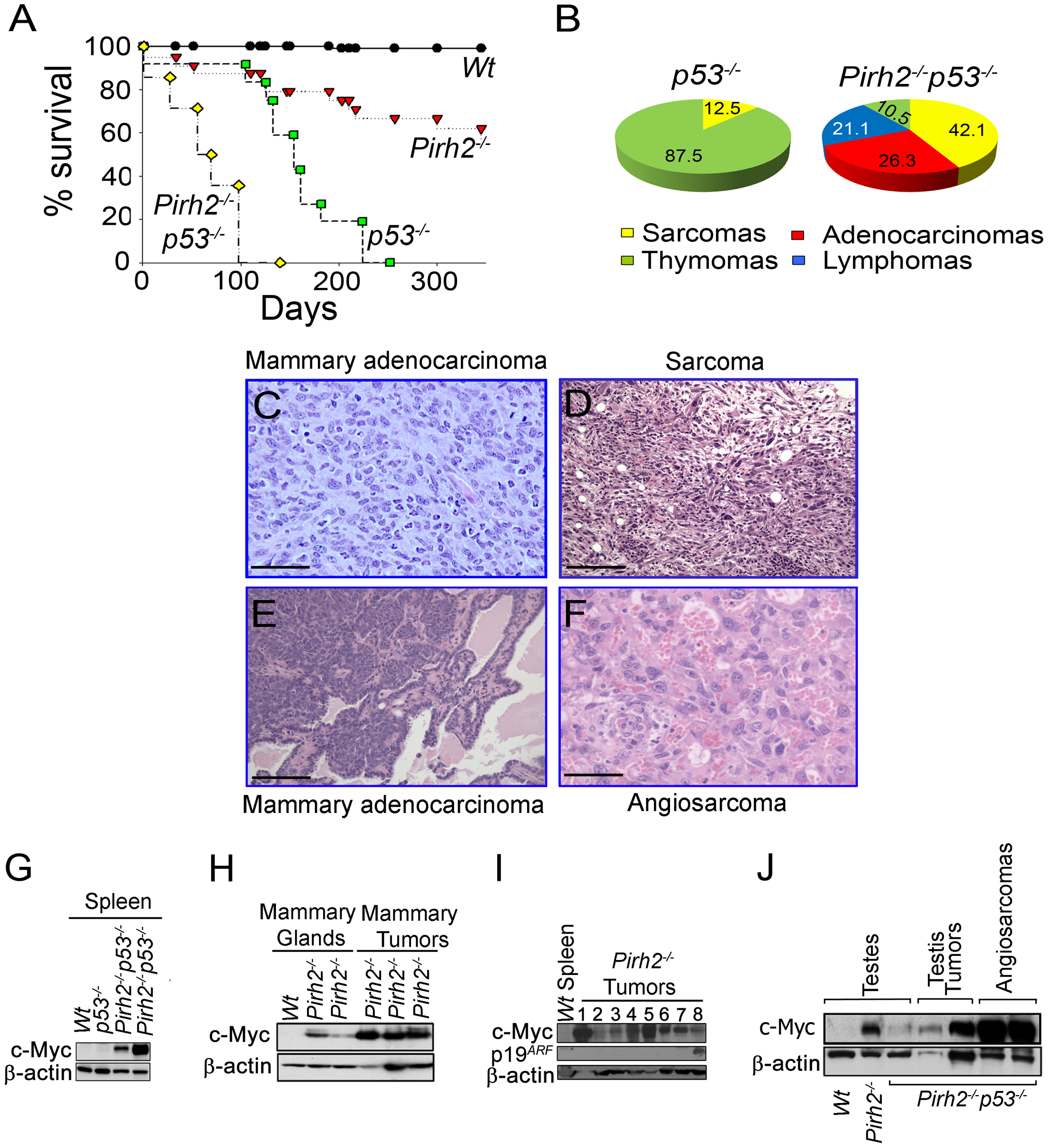 Pirh2 Is a Tumor Suppressor That Collaborates with p53 in Suppressing Cancer.