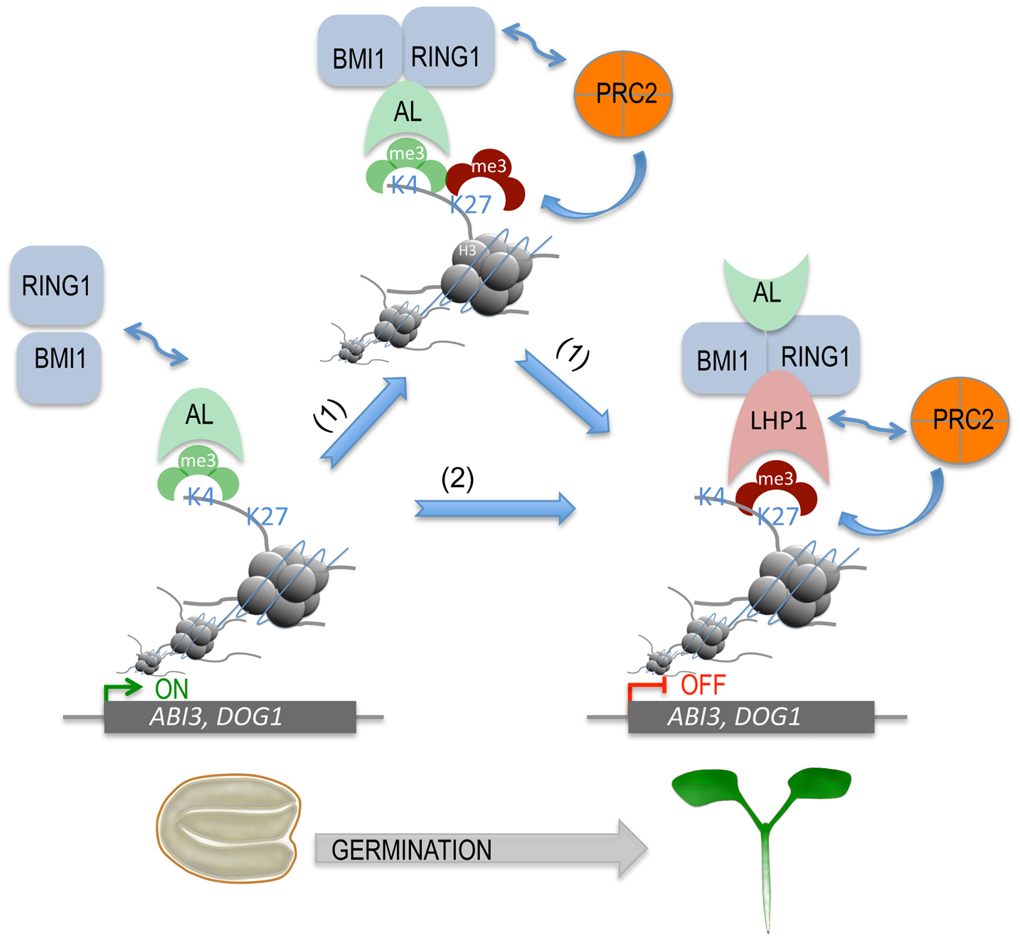 A proposed model for AL PHD-PRC1 complexes in silencing seed developmental genes during seed germination.