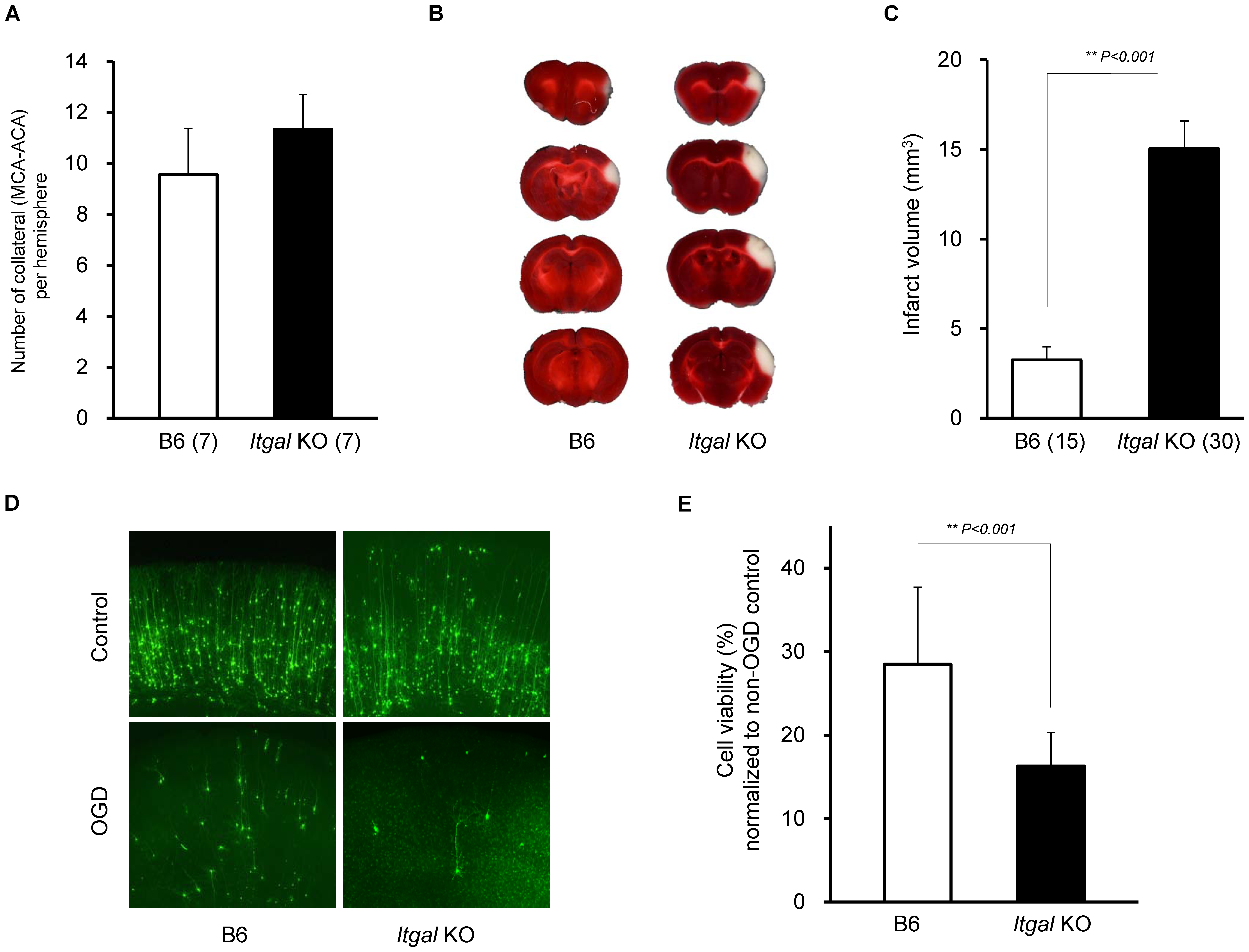 Infarct volume is increased in <i>Itgal</i> knockout (KO) mice.