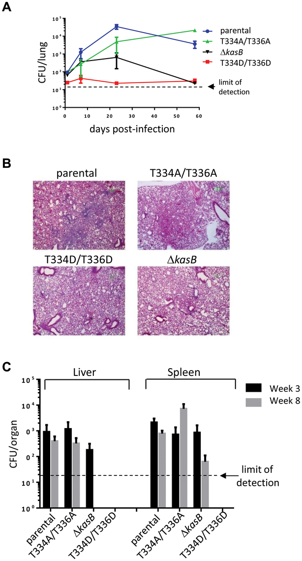 Infection of immunocompetent C57Bl/6 mice with <i>M. tuberculosis kasB</i> isogenic strains. (A) Growth of <i>Mtb kasB</i> strains in the lungs.
