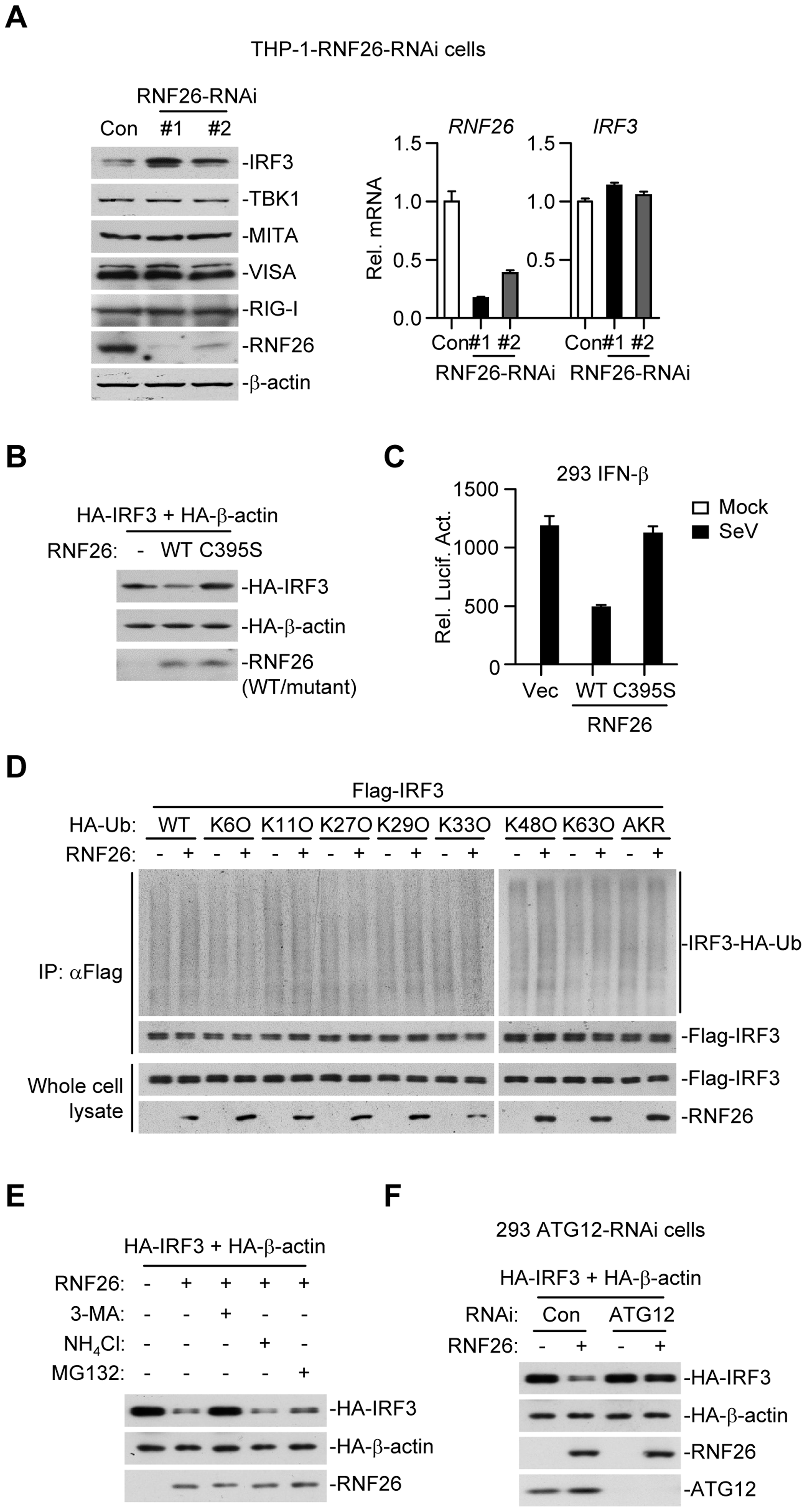 RNF26 regulates IRF3 stability.