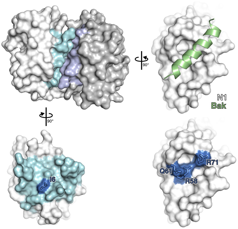 Mutagenesis of vaccinia virus protein N1.