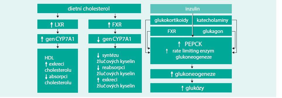 Schéma. Žlučové kyseliny, nitrojaderné receptory a glukózová homeostáza