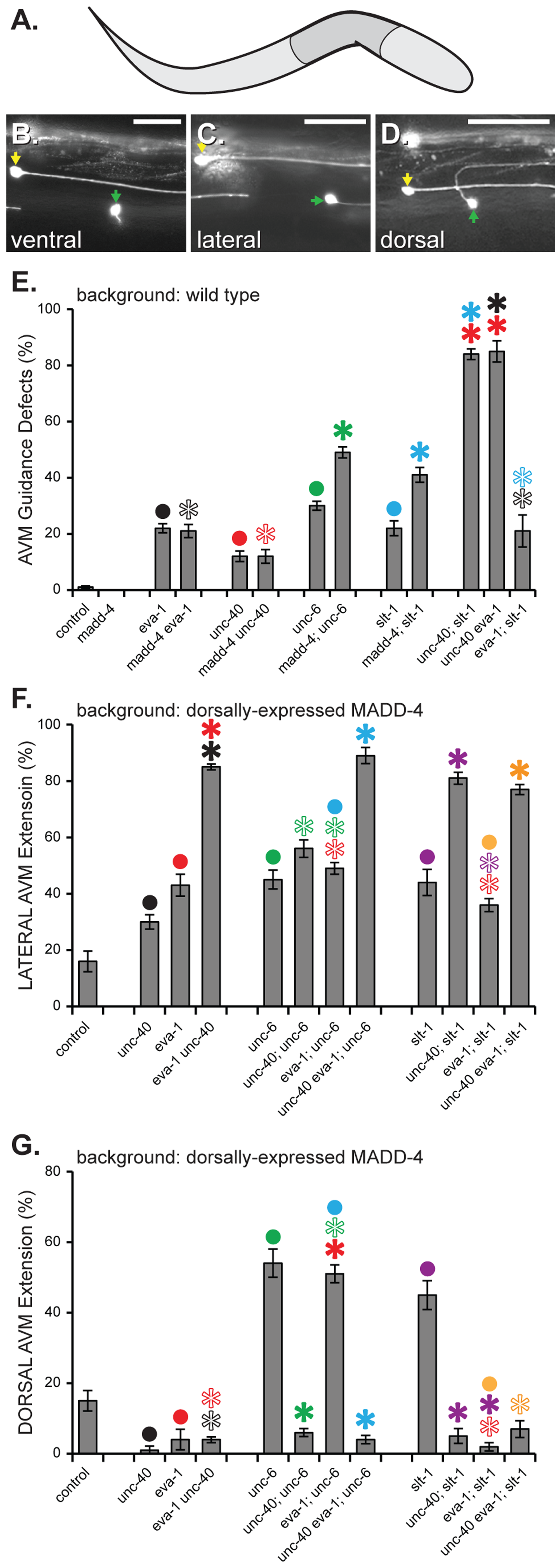 MADD-4 attracts extending AVM axons via EVA-1 and UNC-40.