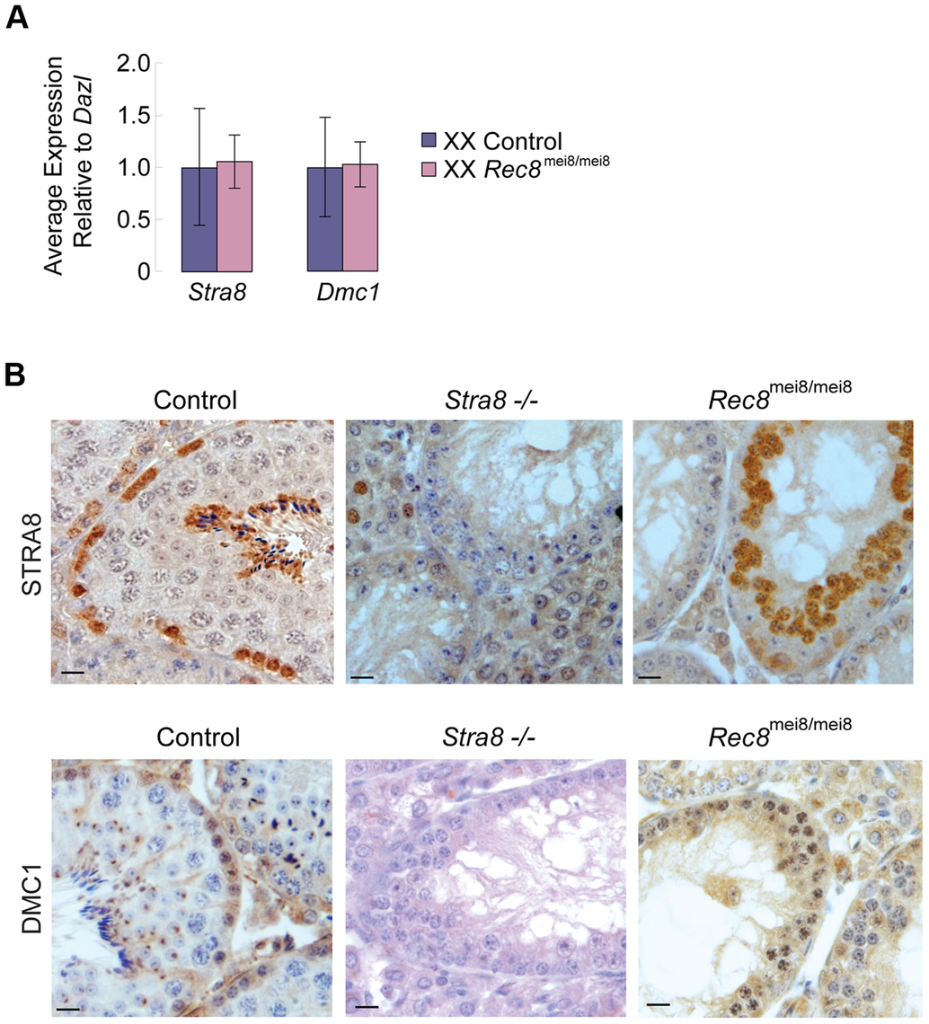 <i>Stra8</i> and <i>Dmc1</i> expression in male and female germ cells is independent of <i>Rec8</i>.