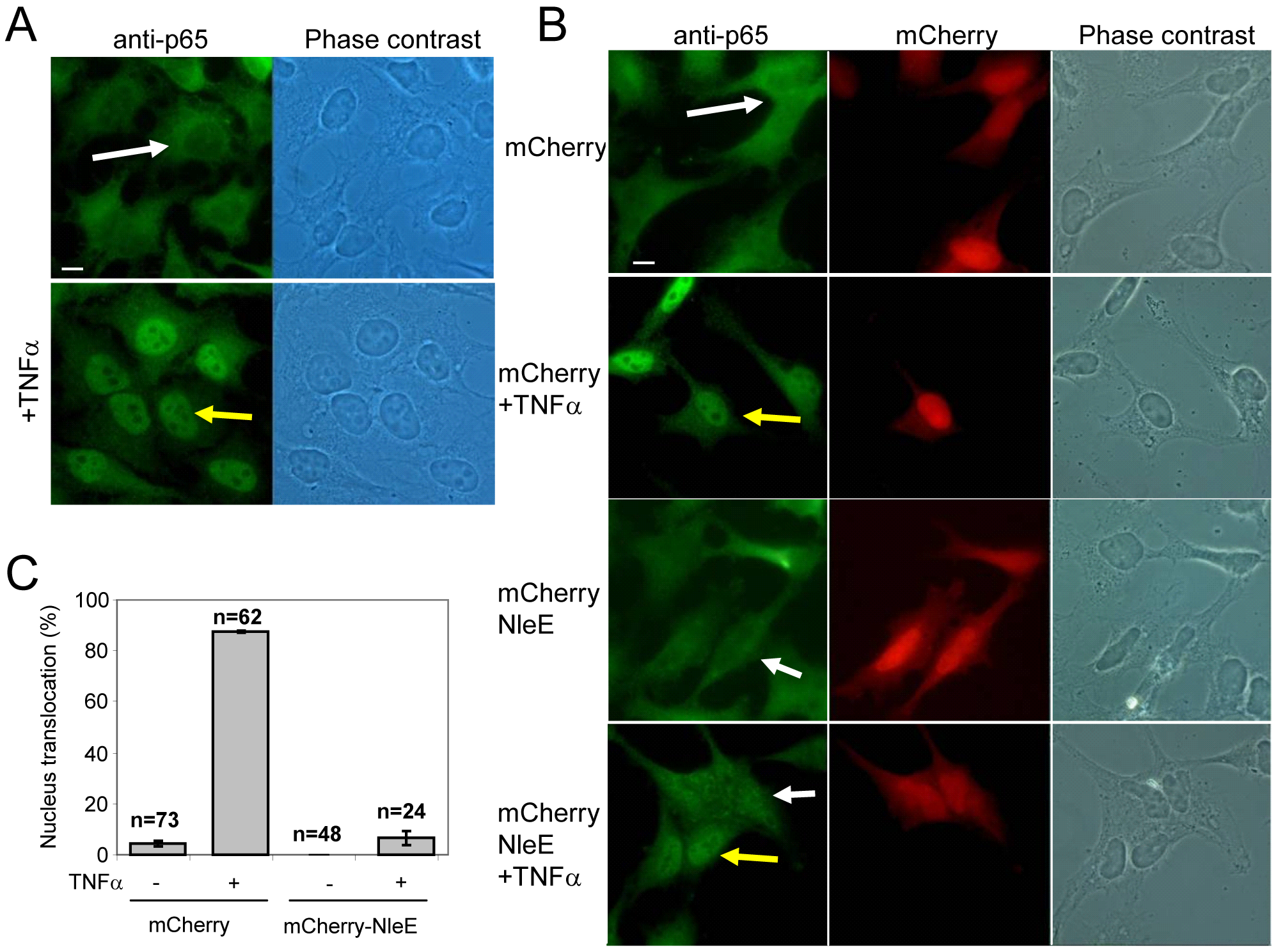 NleE is sufficient to block translocation of NF-κB to the nucleus.