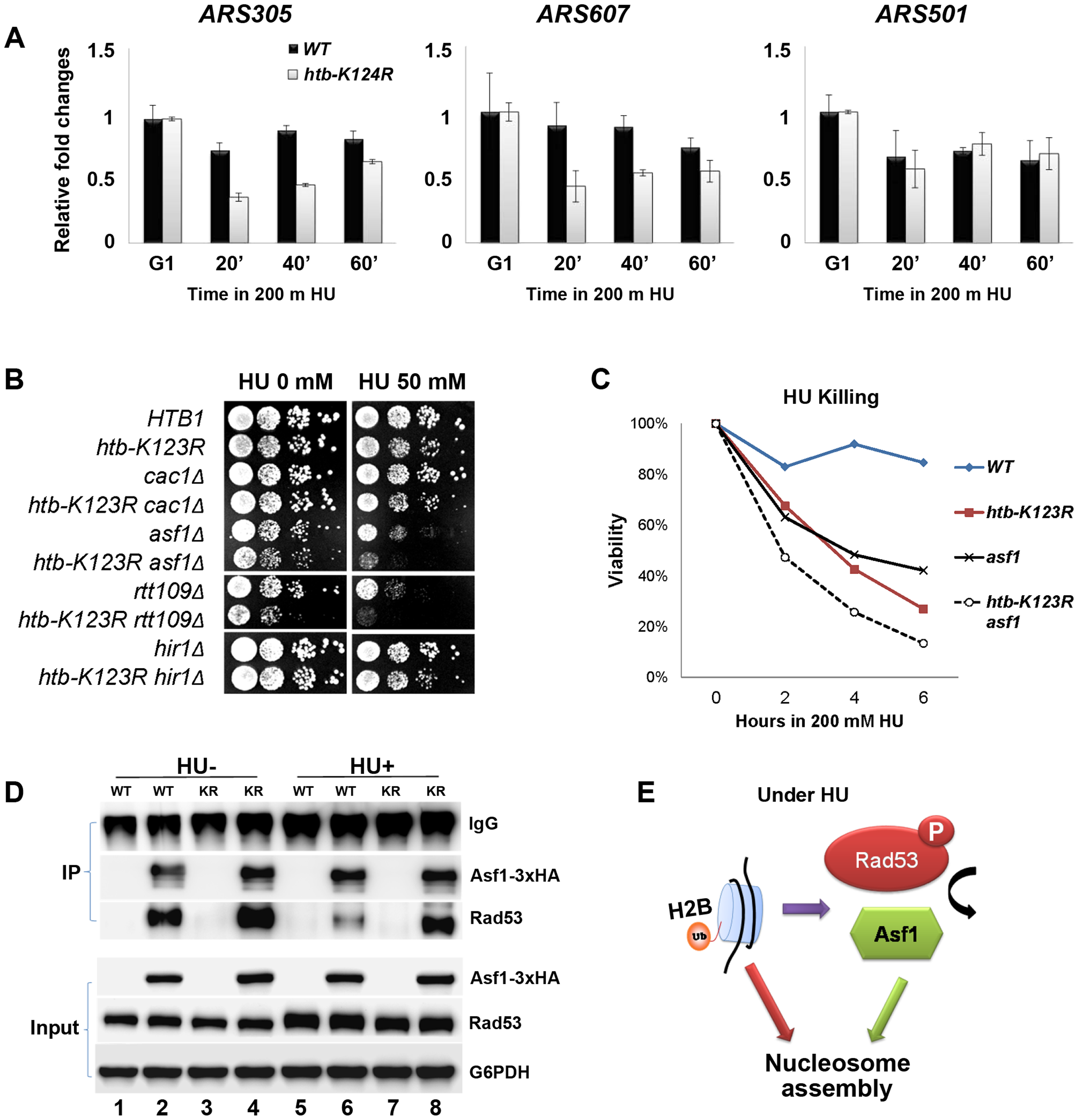 H2Bub promotes chromatin assembly in response to replication stress.
