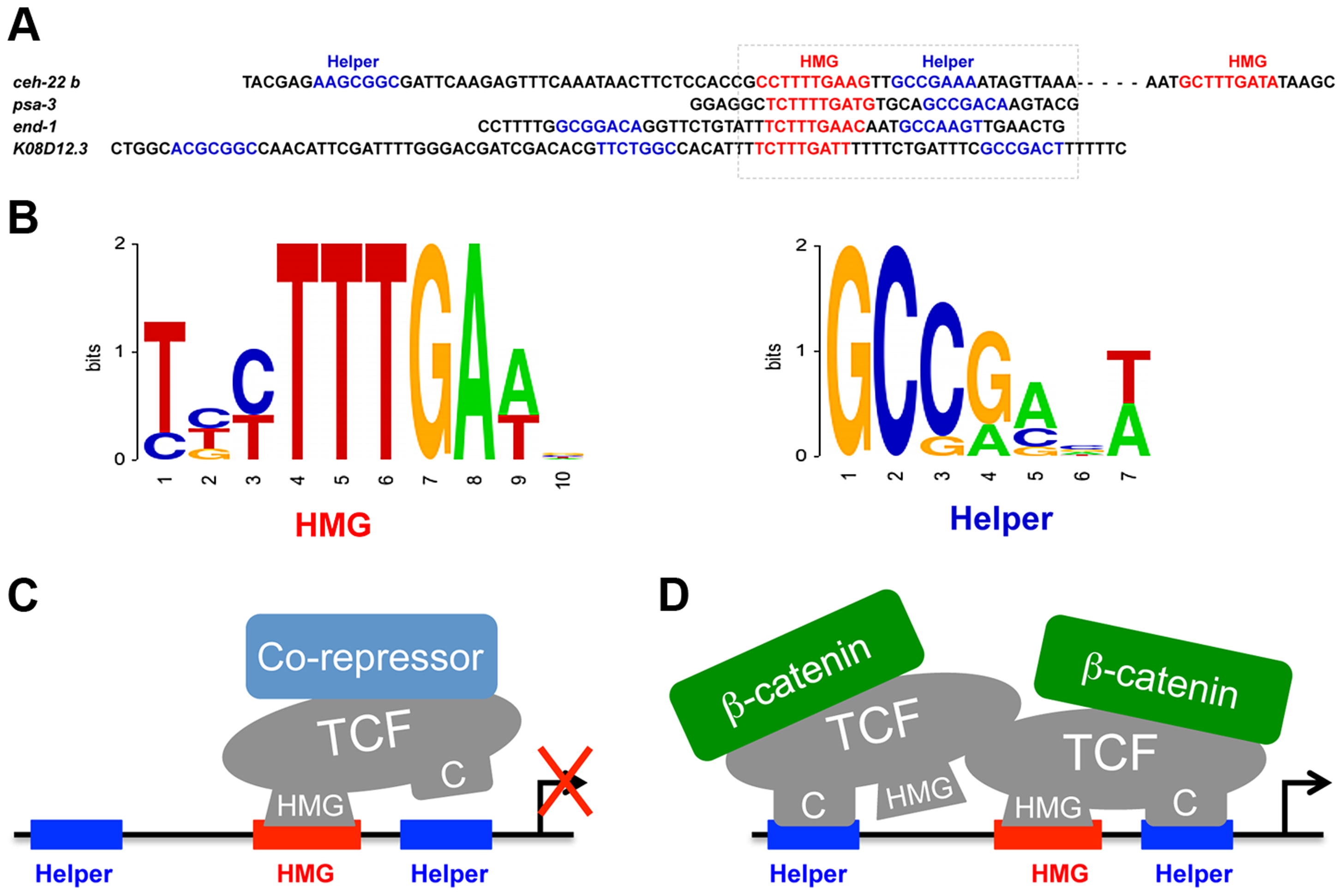 POP-1 consensus HMG and Helper sites and models for the TCF transcriptional switch.