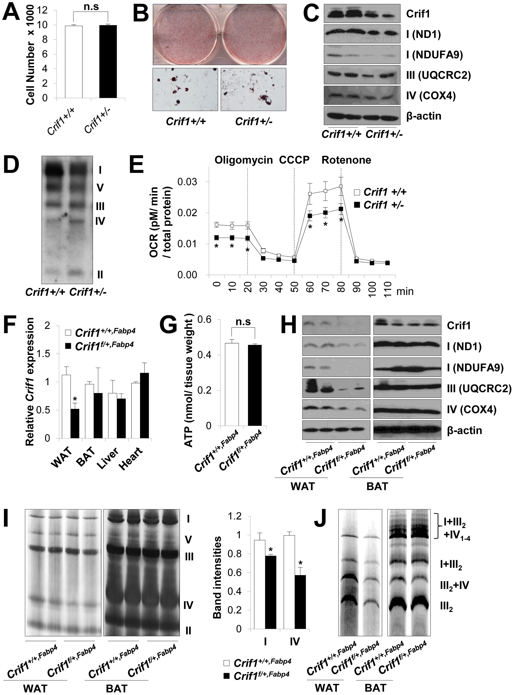Dysfunctional mitochondria in <i>Crif1</i> haploinsufficient adipocytes.