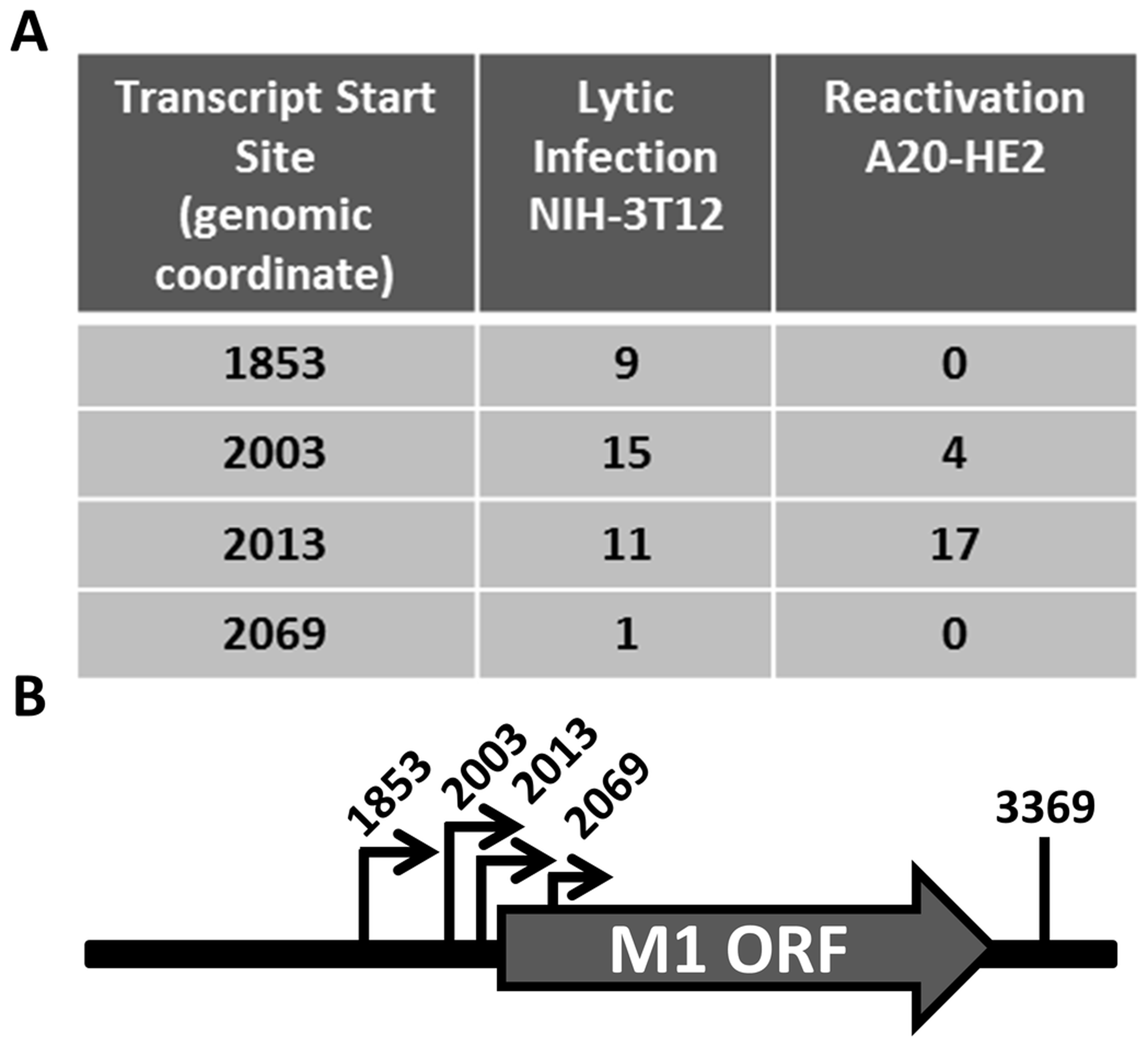 M1 transcript mapping identifies initiation and termination sites which result in a 1.3 and 1.5