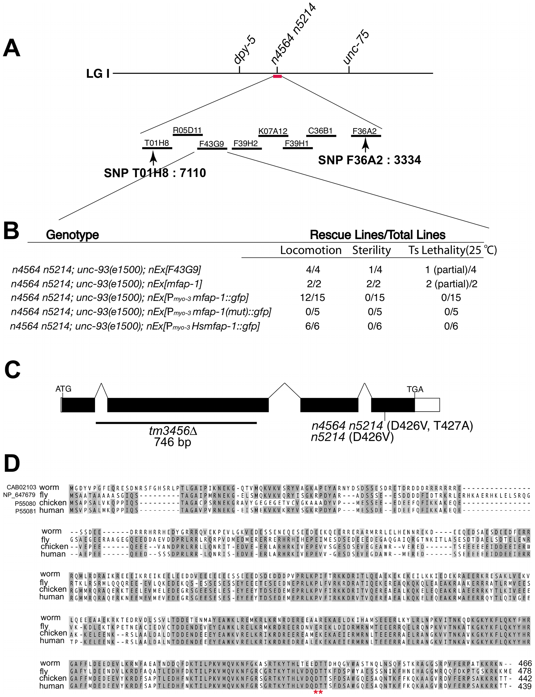 Genetic mapping, cloning, and identification of <i>mfap-1</i>.