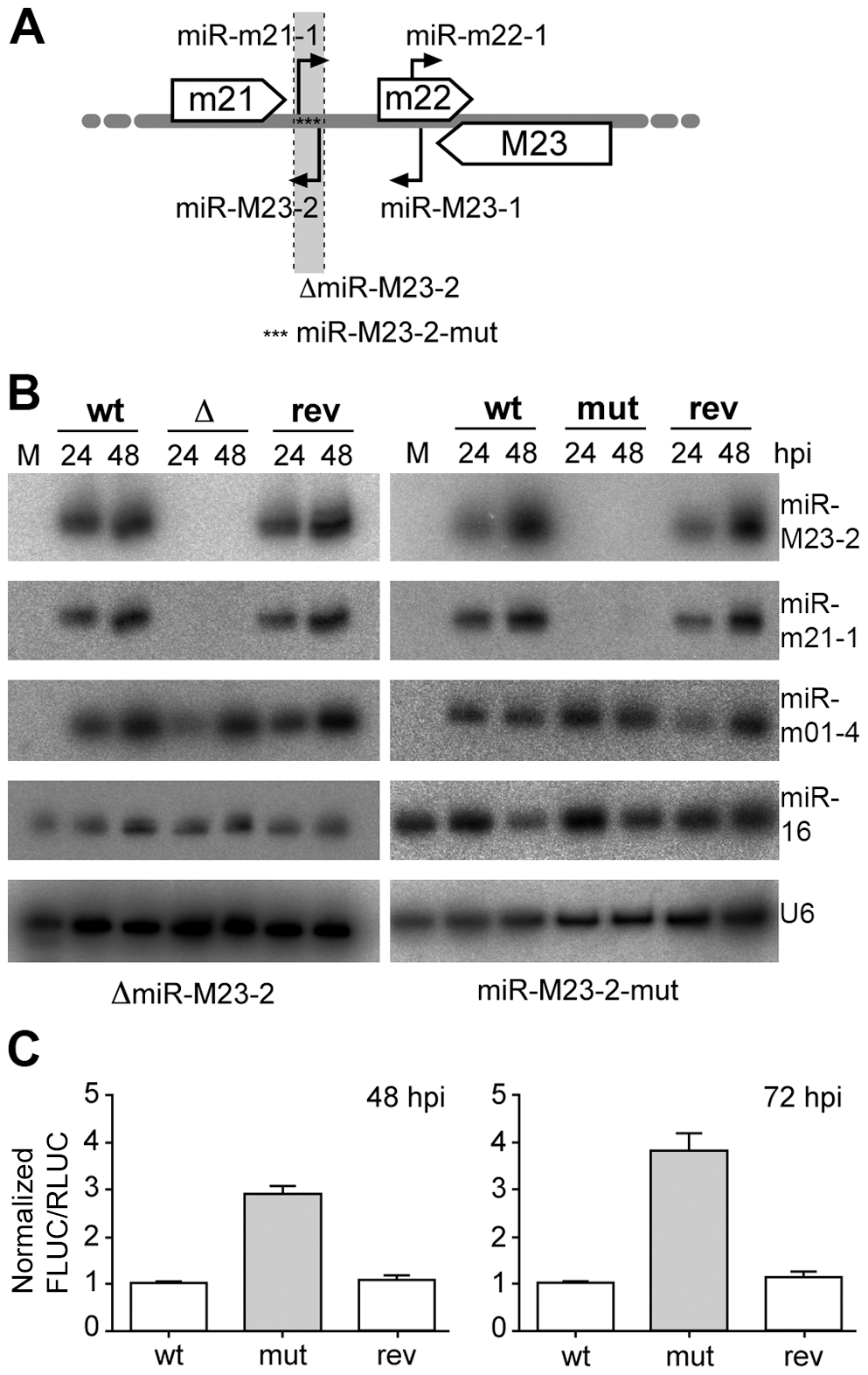 Obtention and characterization of miRNA mutant MCMV.