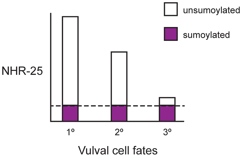 Ratio of sumoylated to unsumoylated NHR-25 and 3° cell fate.