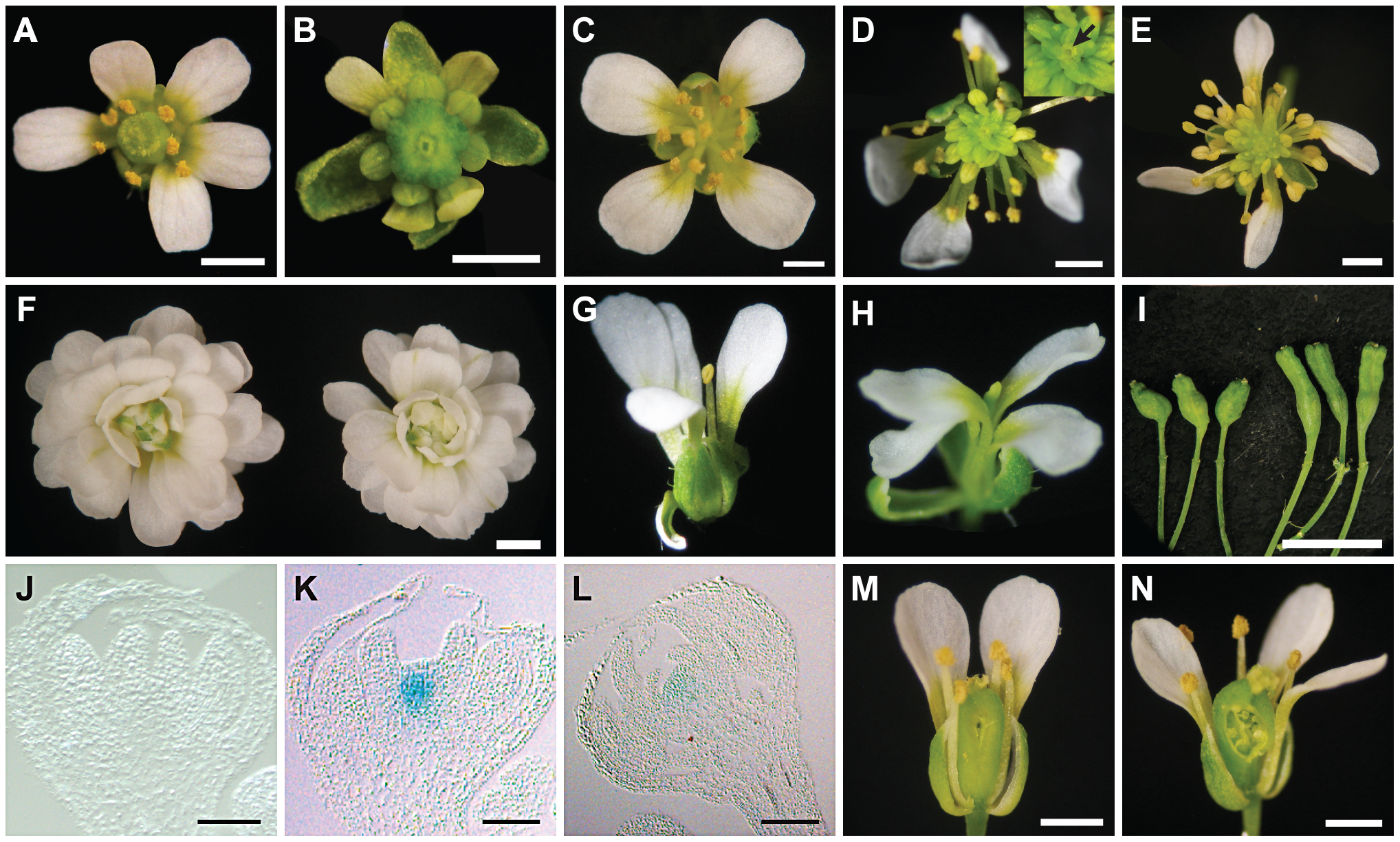 Phenotypes of <i>ag-10 pwr-1</i> in combination with loss-of-function mutations in other floral determinacy regulators.