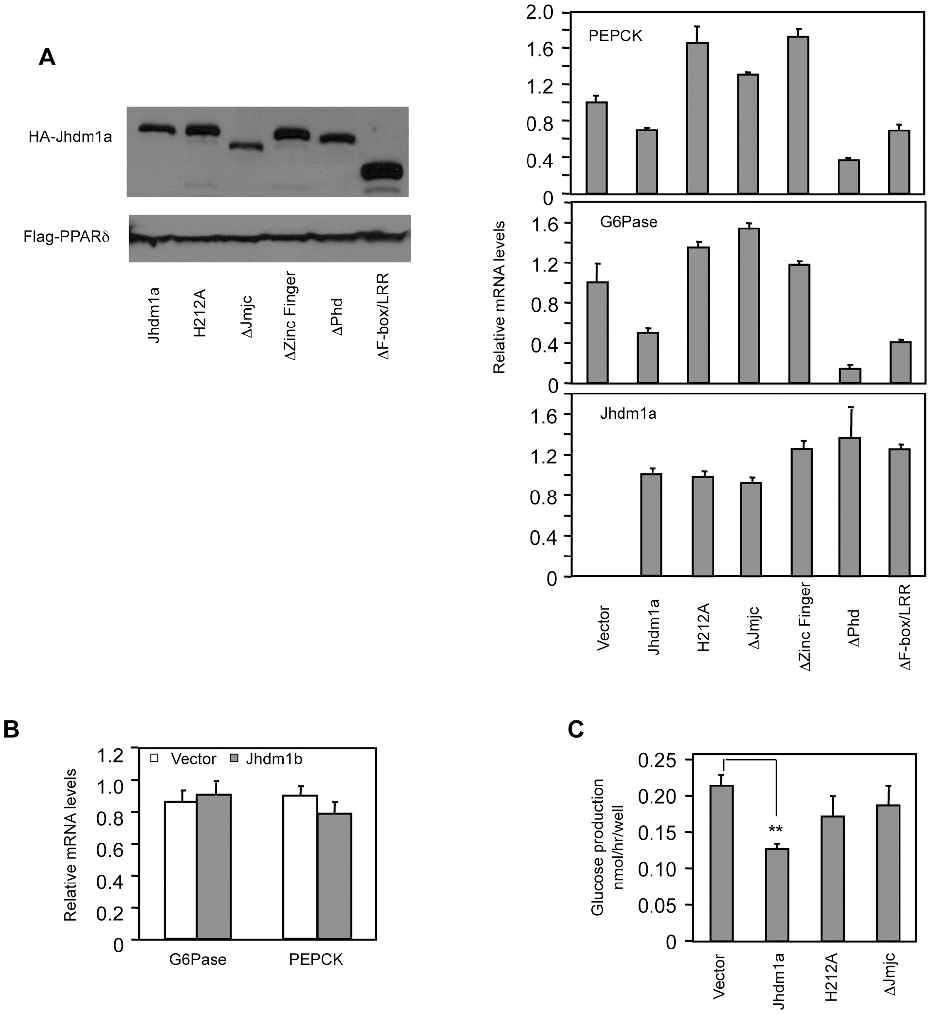 Suppression of gluconeogenic gene expression by Jhdm1a requires its demethylation activity.