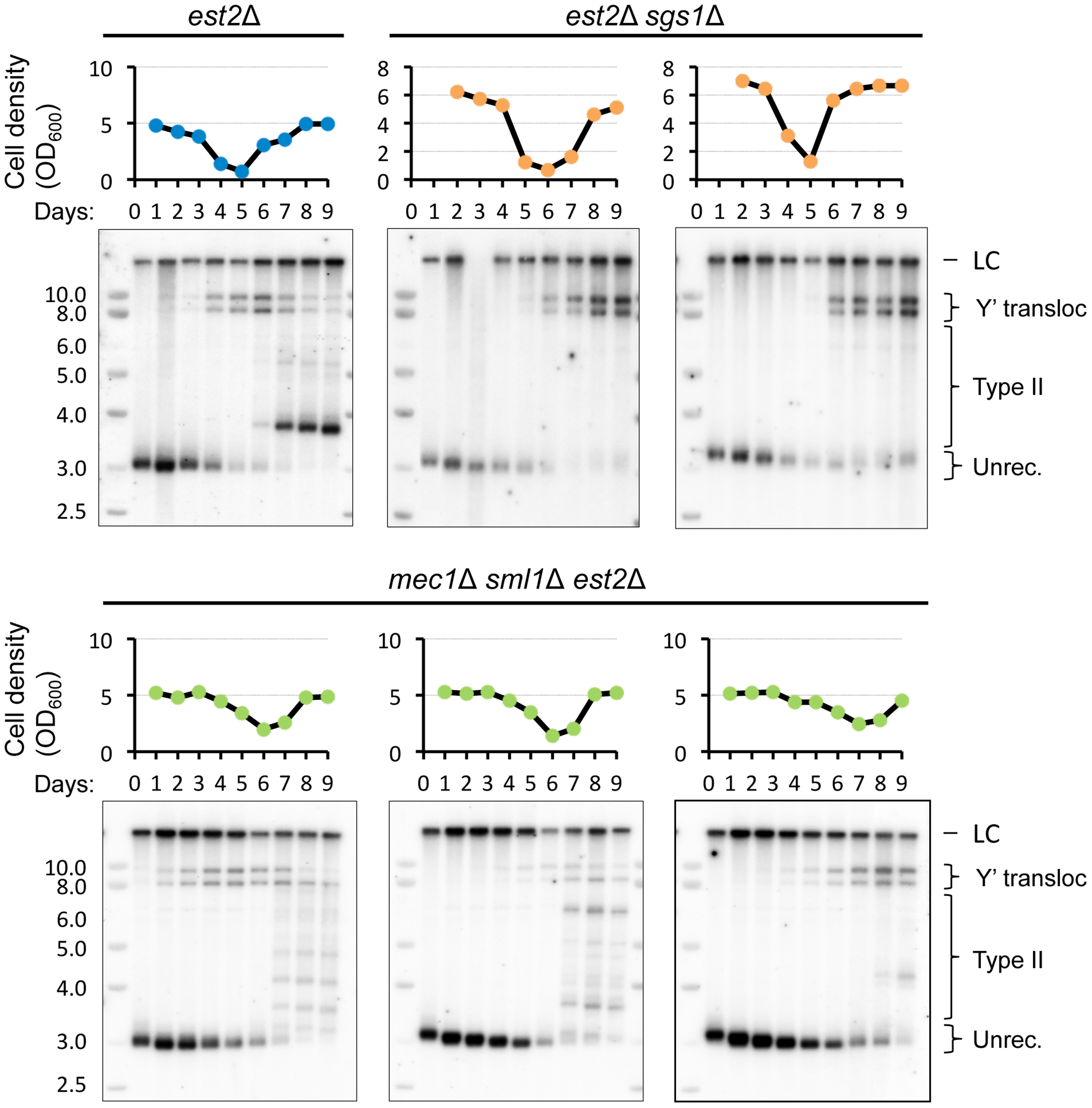 <i>SGS1</i> but not <i>MEC1</i> deletion delays Y′ translocation on the native telomere XV-L.